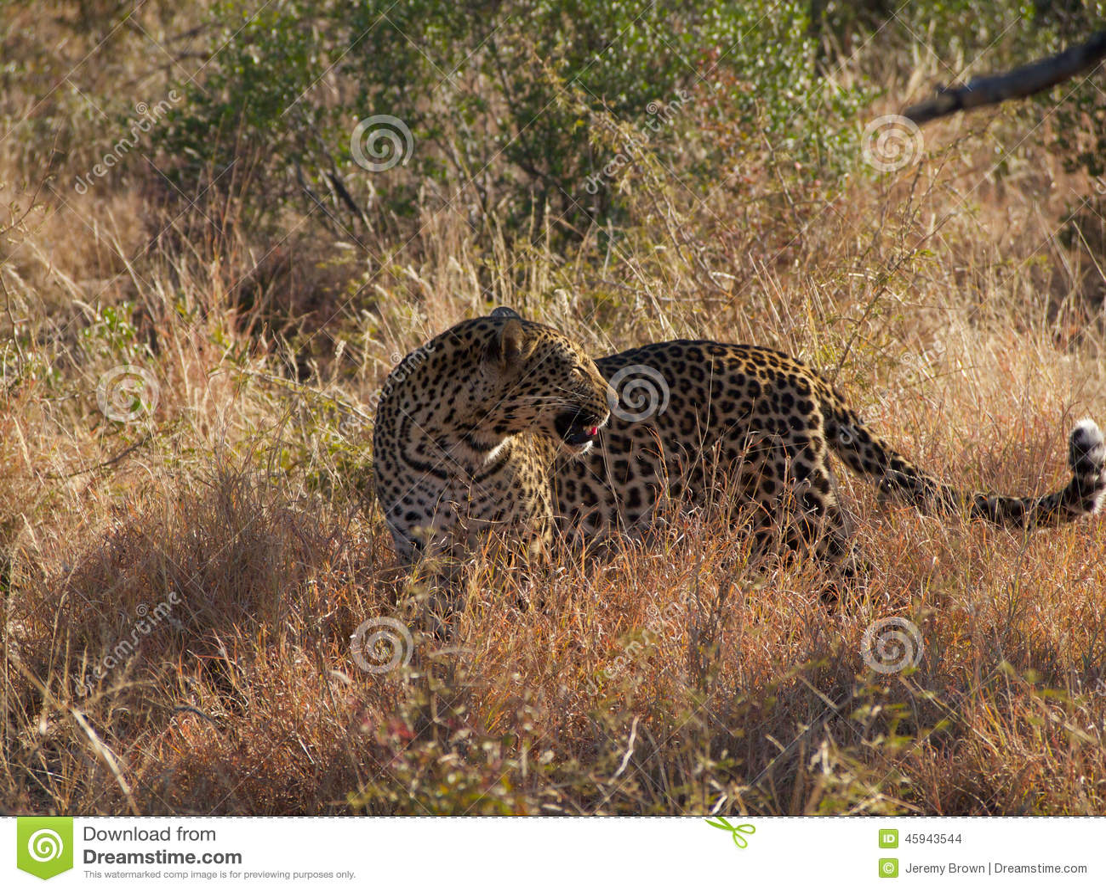Ung male leopard
