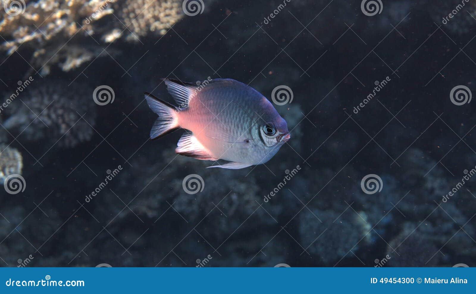 Ung ogift kvinnafisk
