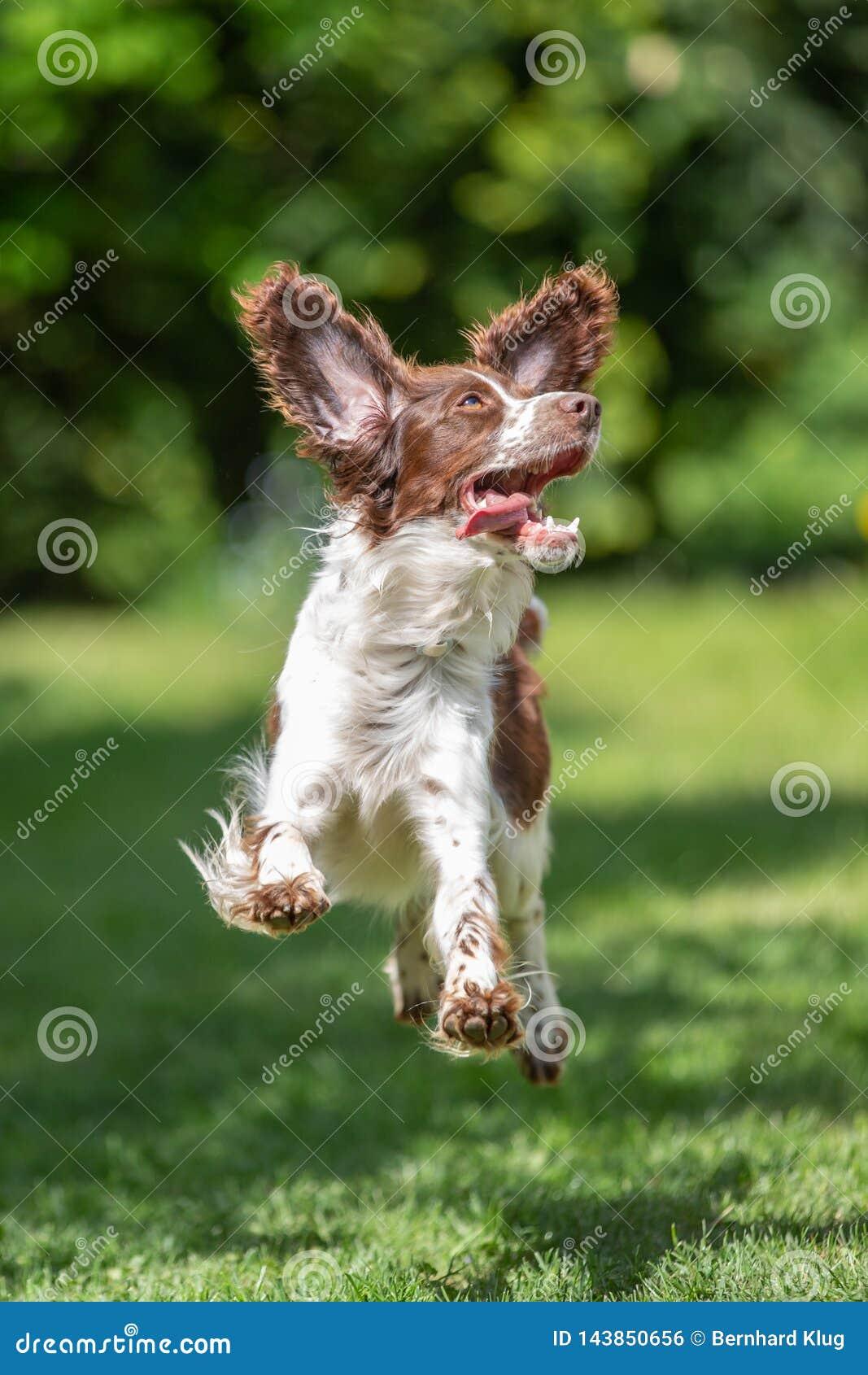 Ung springerspaniel som hoppar för glädje med flygöron