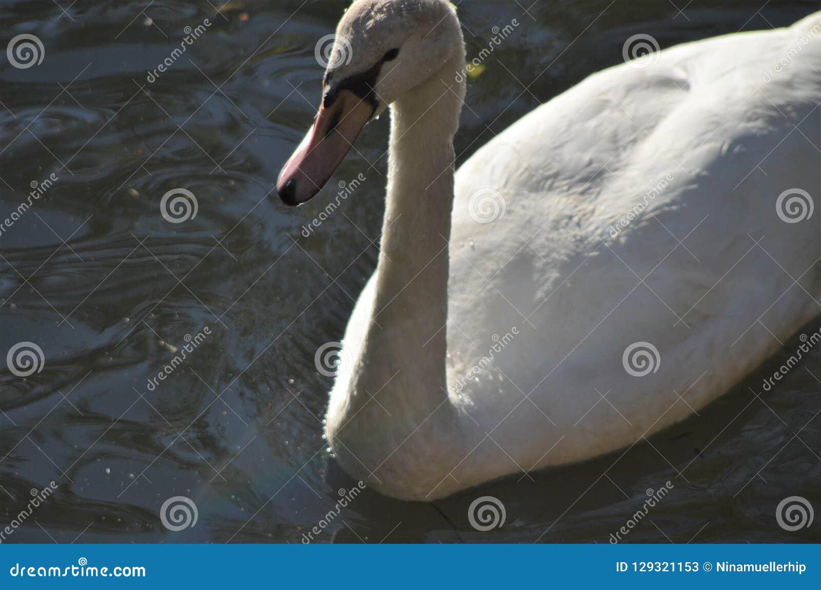 Ung svan i vatten från slut, grå vattenfågel i detalj med näbb och blåtiror på en sjö i naturlig livsmiljö