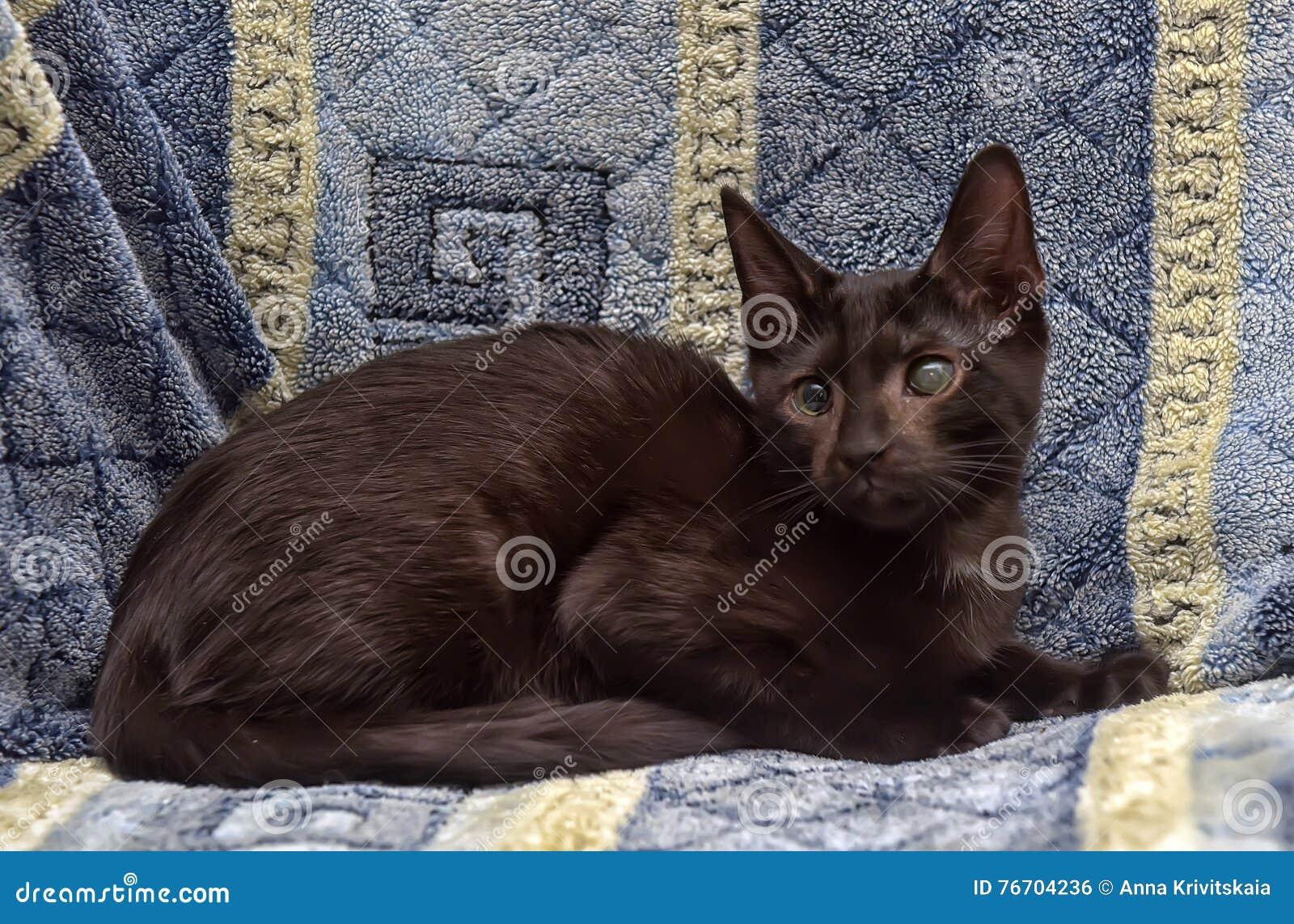 Ung tonårig shorthairkattunge på en blå bakgrund