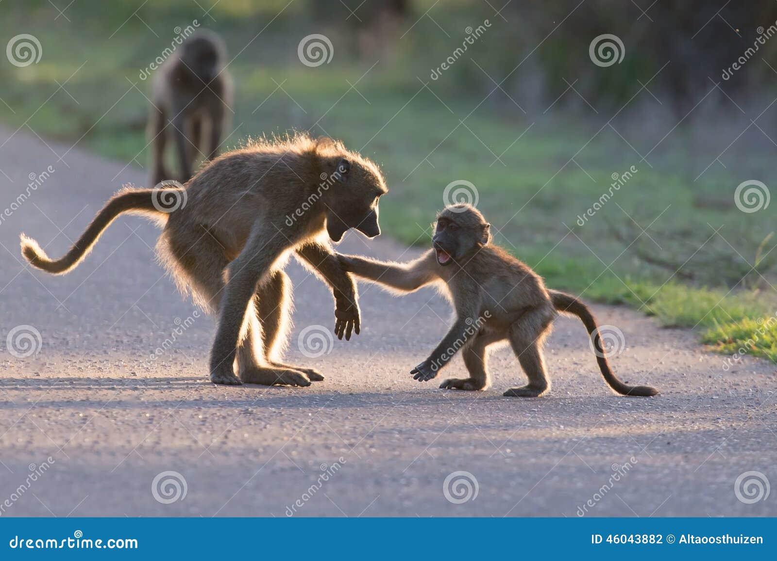 Unga babianer som spelar i en sen eftermiddag för väg för gående baksida