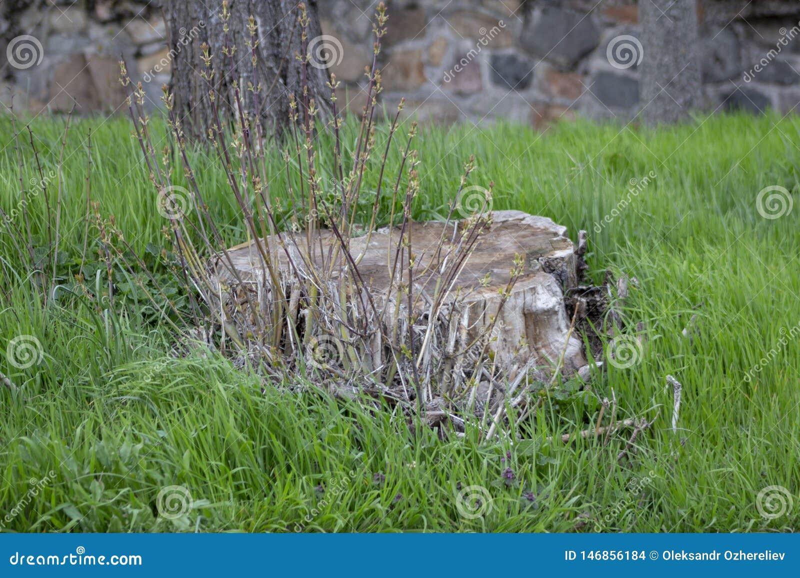 Unga groddar på den gamla stubben