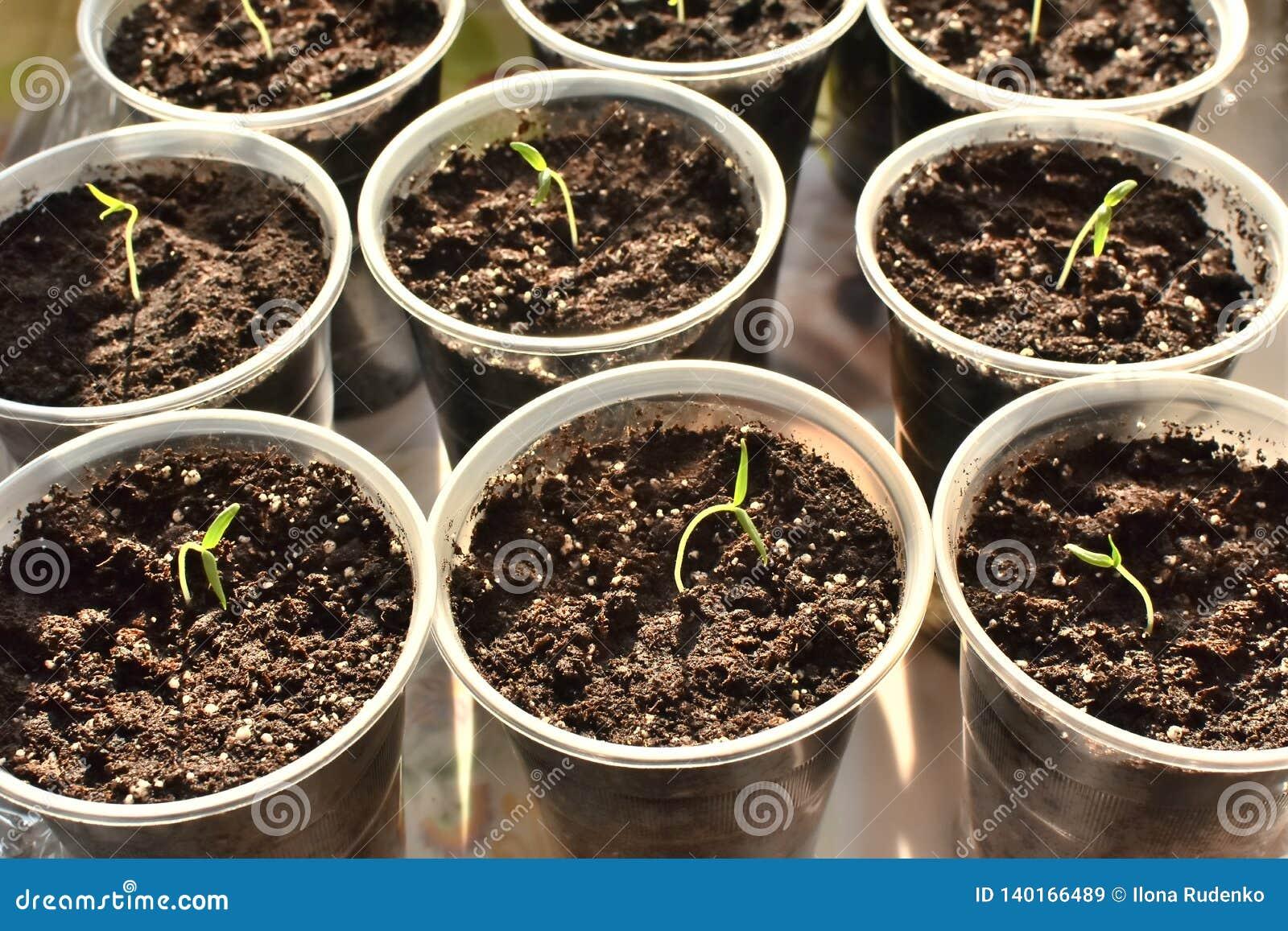 Unga nya gröna plantor som växer i krukor under solljuset