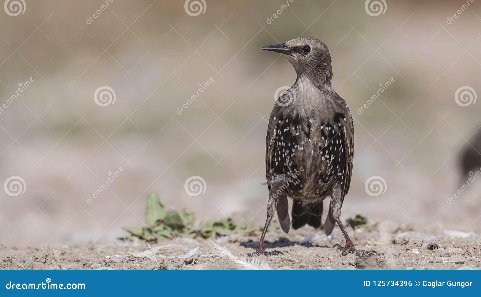Unga Starling Perching på jordning