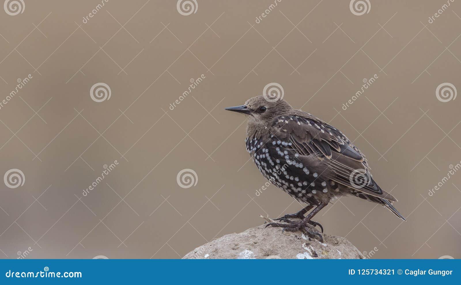 Unga Starling Perching vaggar på