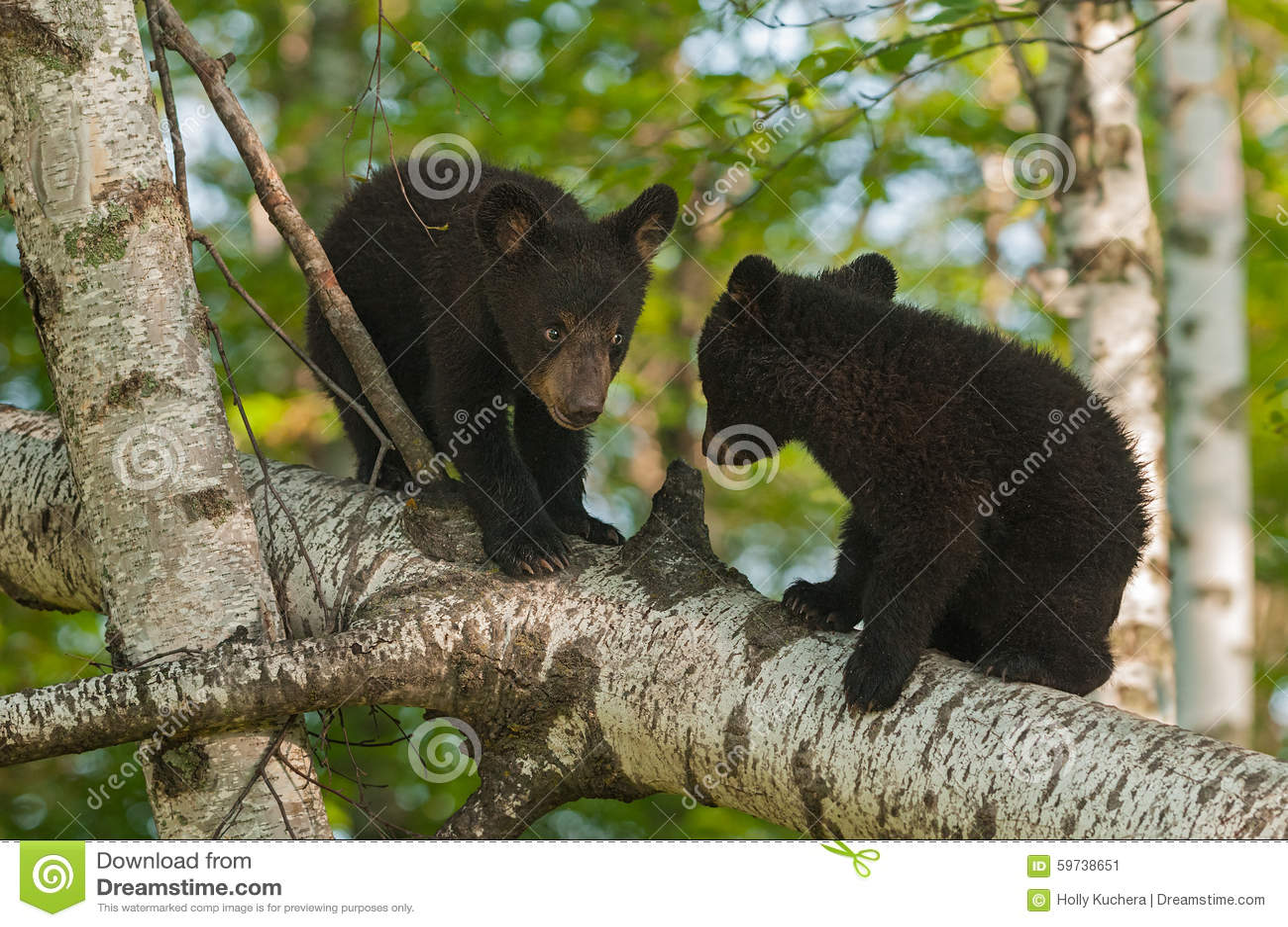 Unga svarta björnar (den americanus ursusen) i träd tilldelar
