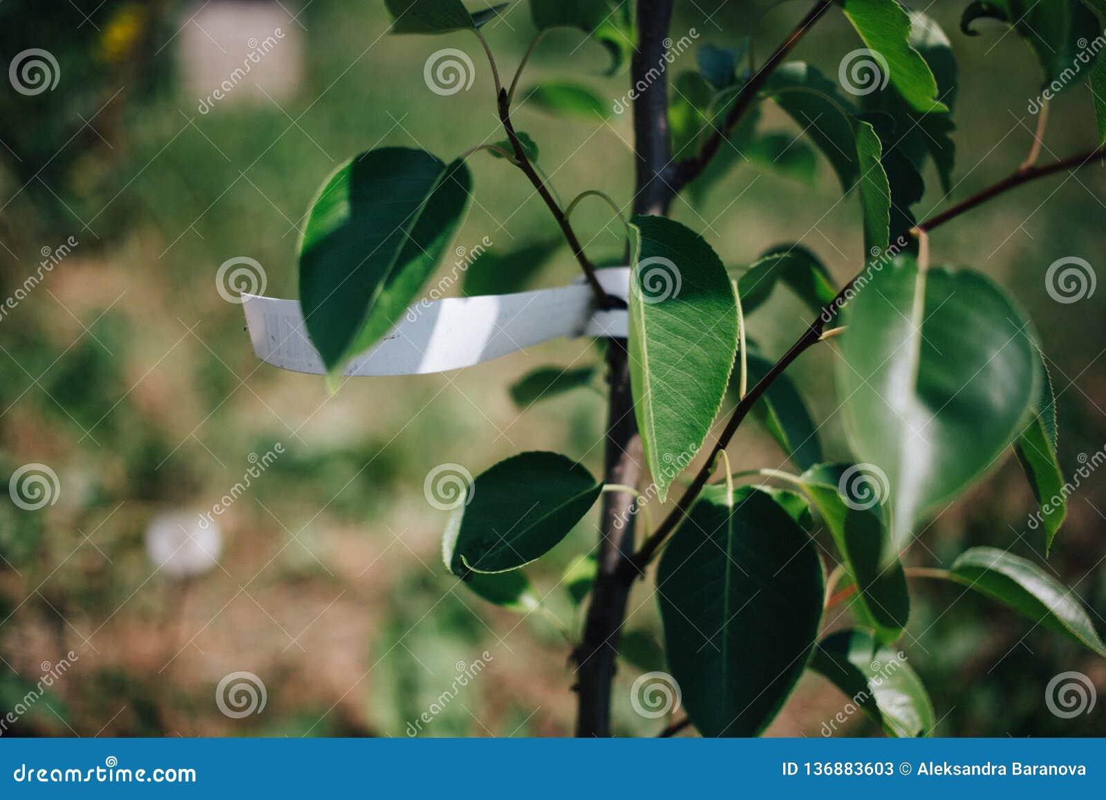 Unga trädpäron med den tomma etiketten som in planterar fruktträd