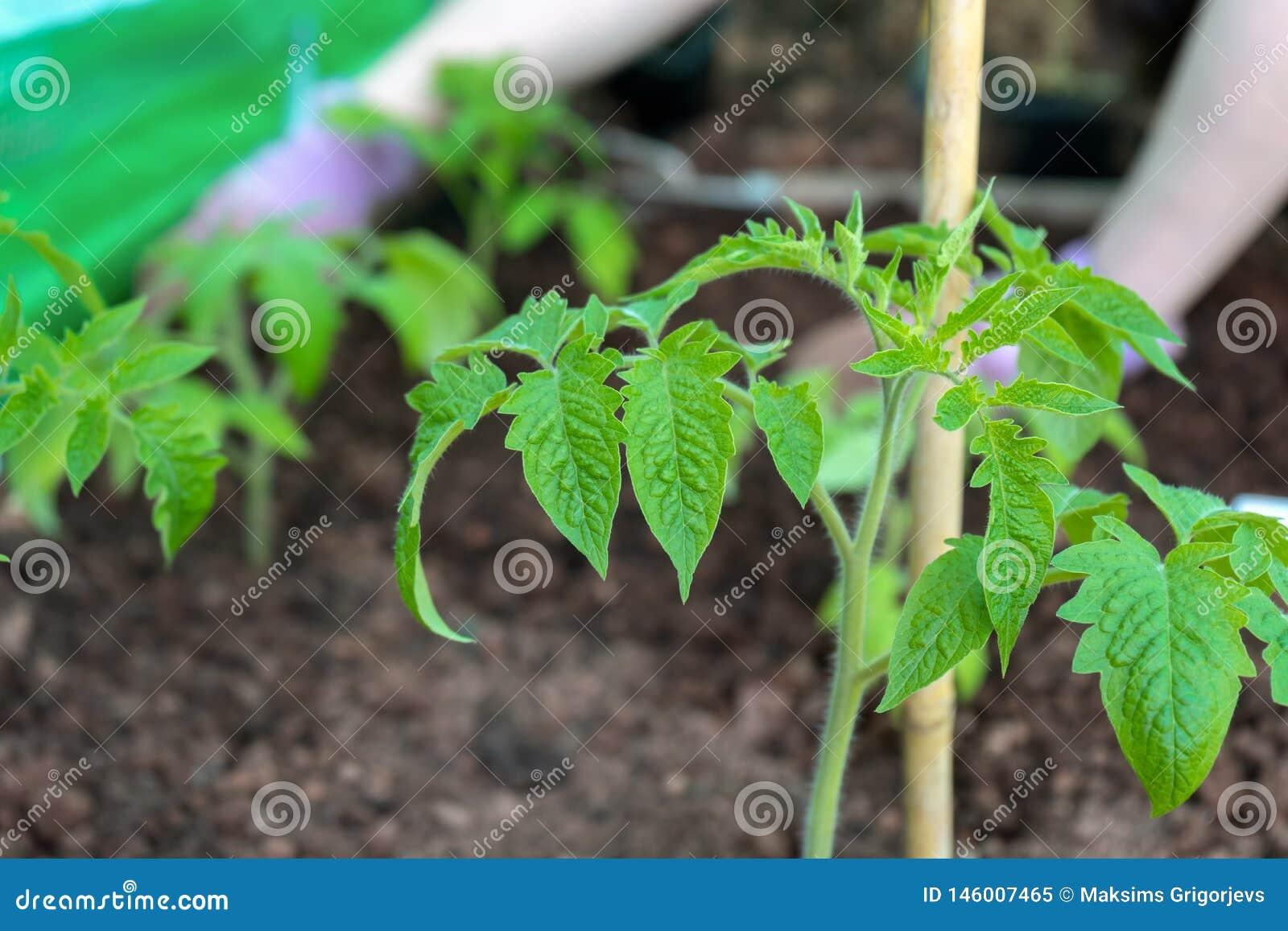 Unga växter av växande tomater på grönsaksäng i trädgård och bluured bakgrund av bondes händer