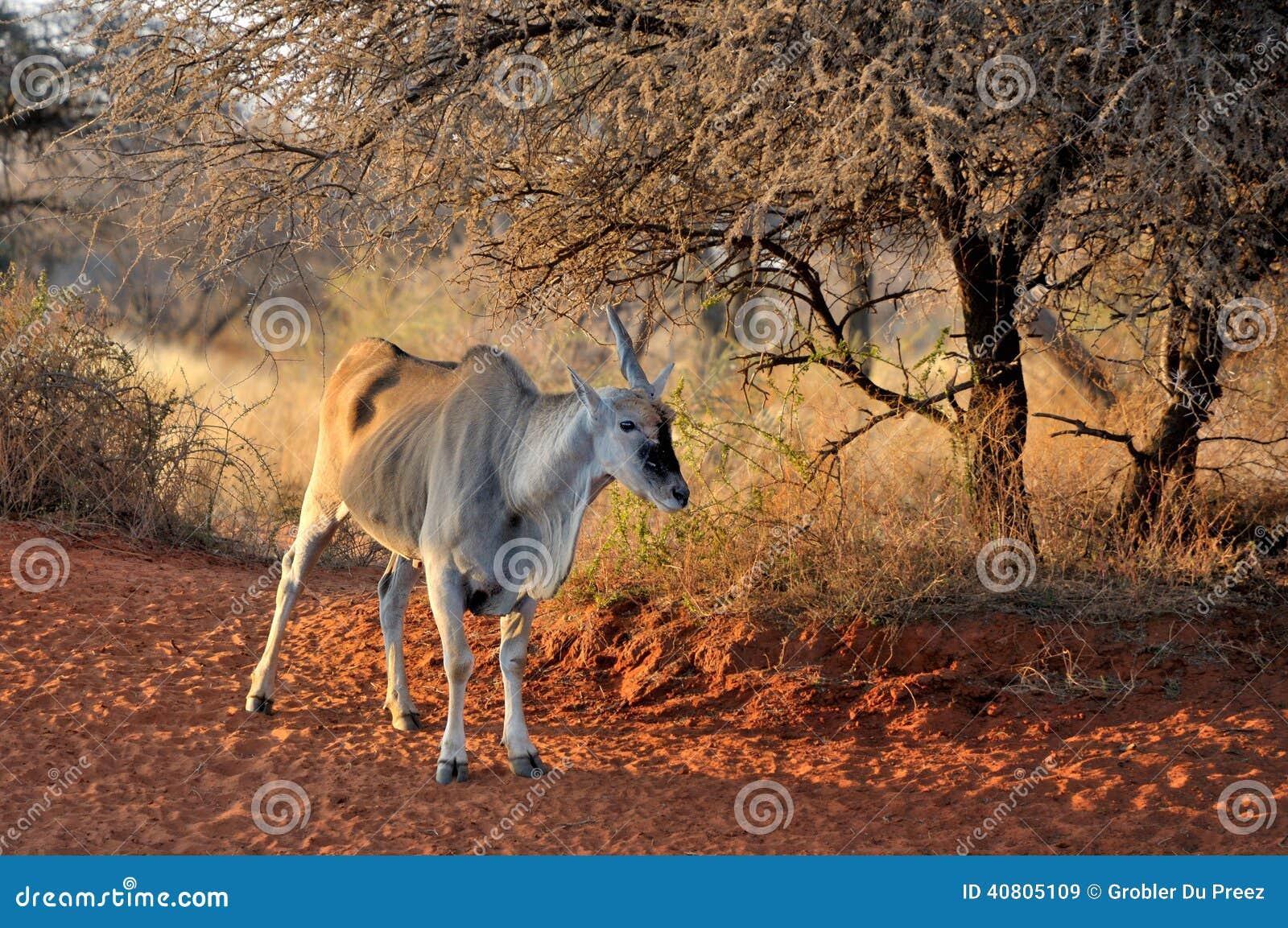 Unicorn Eland