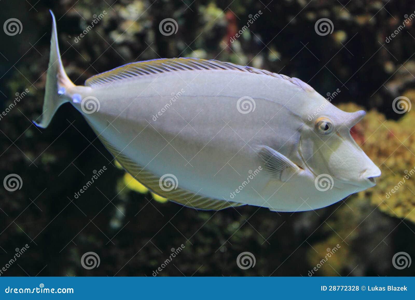 Unicornfish de Bluespine