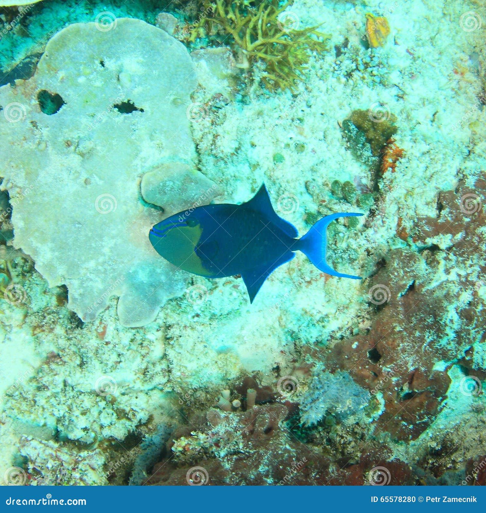 Unicornfish grandes do nariz - fase escura