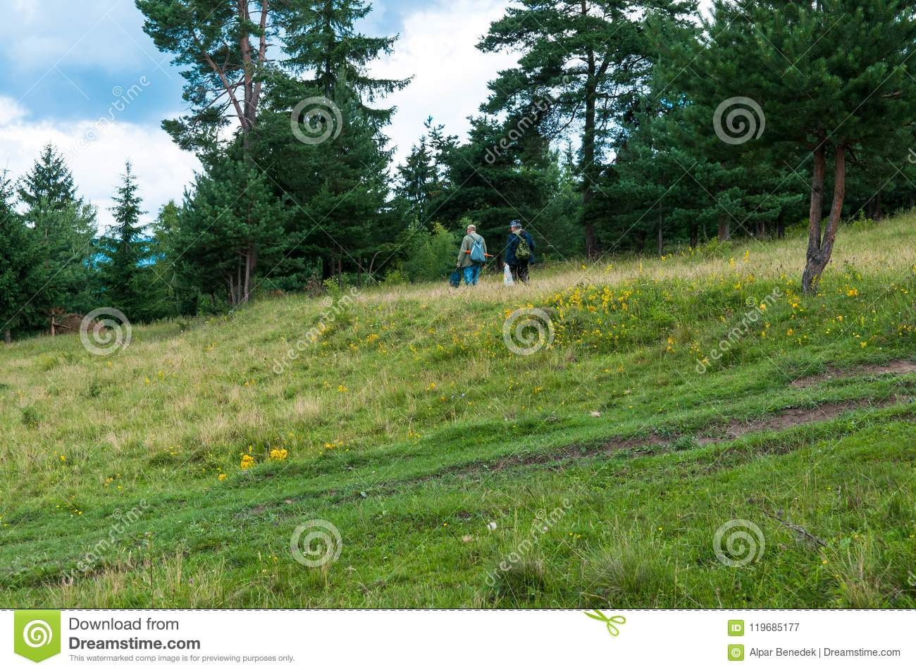 Unidentifiable elderly men searching for mushrooms near a pine forest.