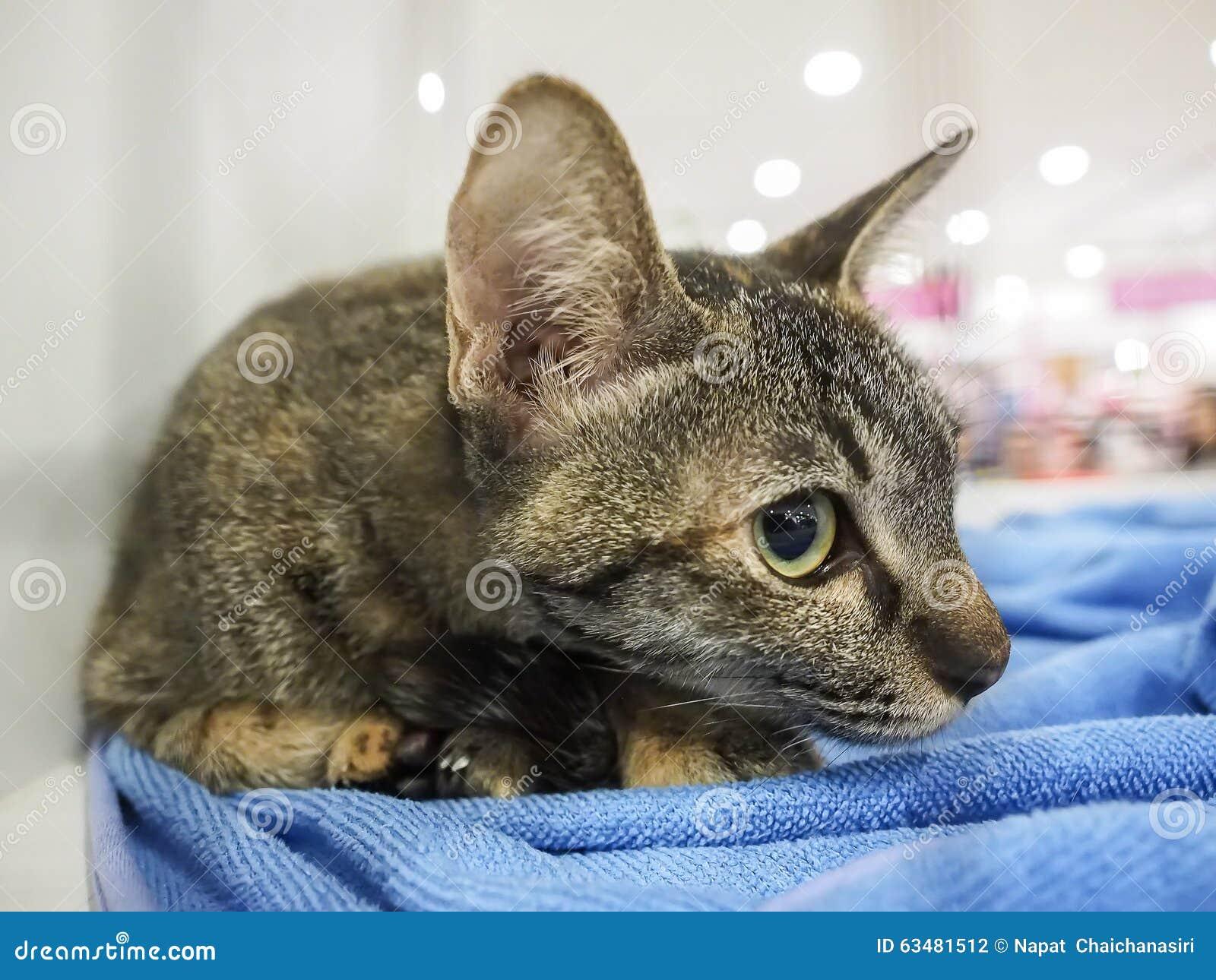 eosinophilic plaque cat