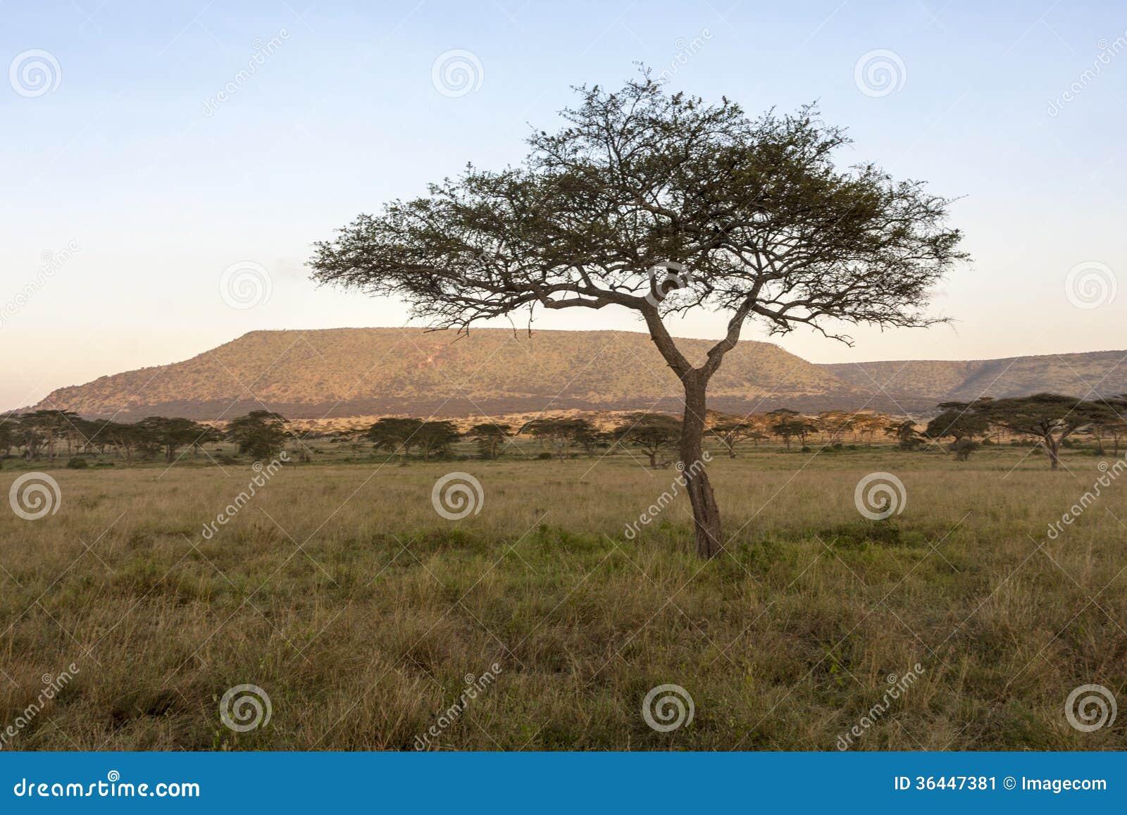 bomen uit afrika