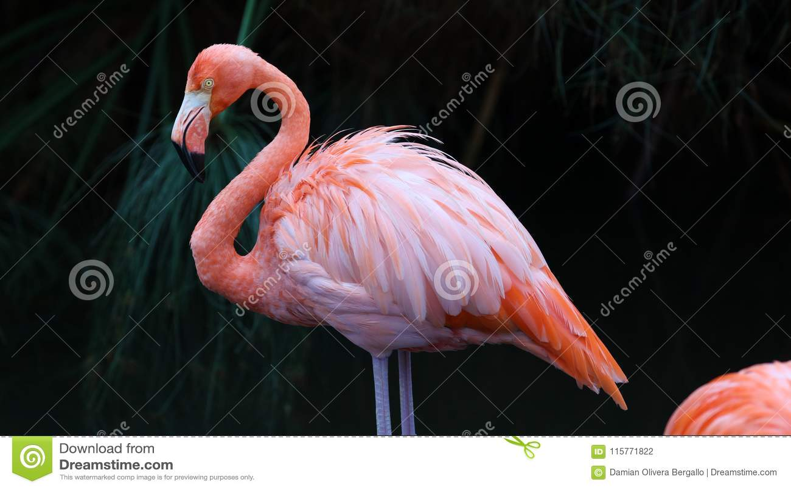 Unik röd flamingo i en sjö, högt definitionfoto av detta underbara fågel- i Sydamerika