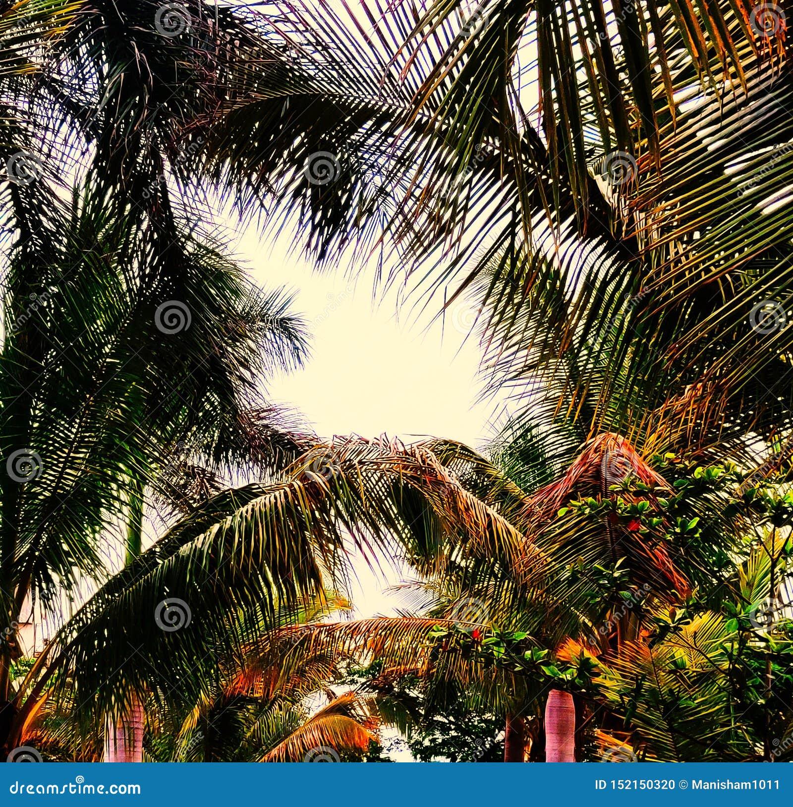 Union d arbres de noix de coco au coucher du soleil