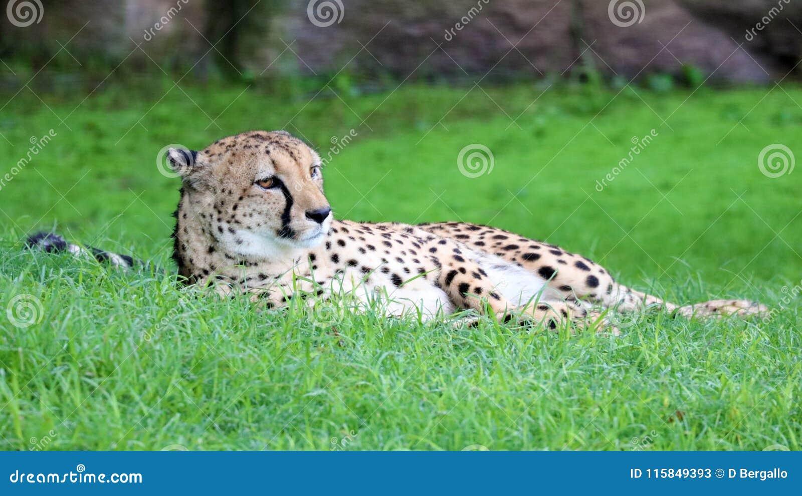 Unique Cheetah In A Green Grass Hill High Definition Photo