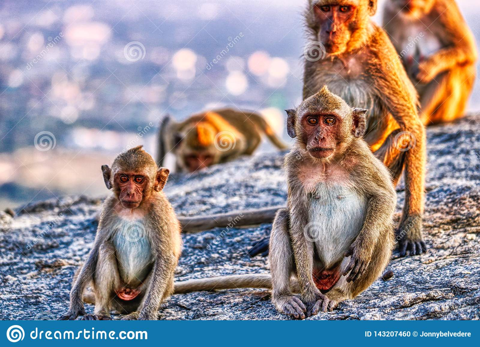 This unique image shows the wild monkeys at dusk on the Monkey Rock in Hua Hin in Thailand
