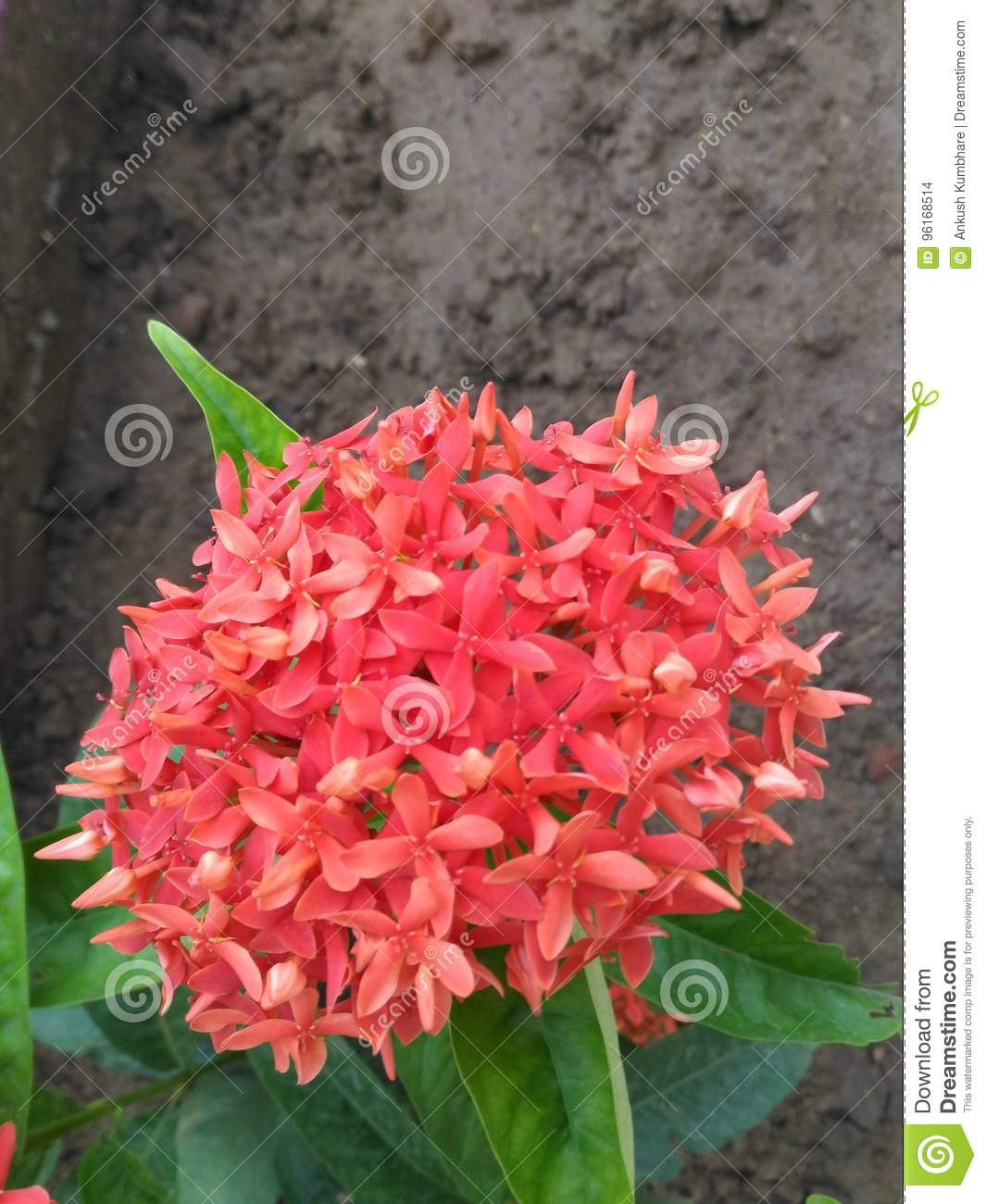 Unique Ixora Red Flowers Blooming in the same Plant in Garden