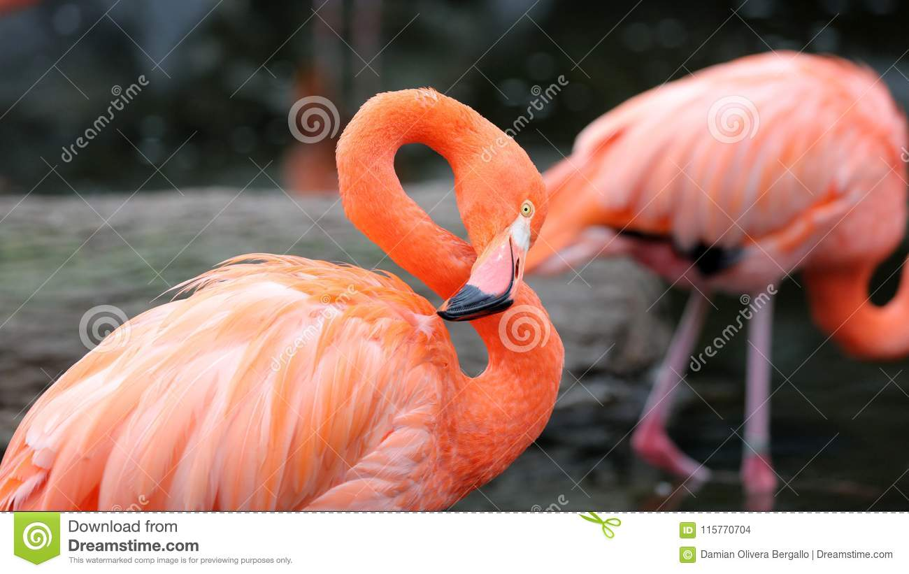 Unique red flamingo in a lake, high definition photo of this wonderful avian in south america.