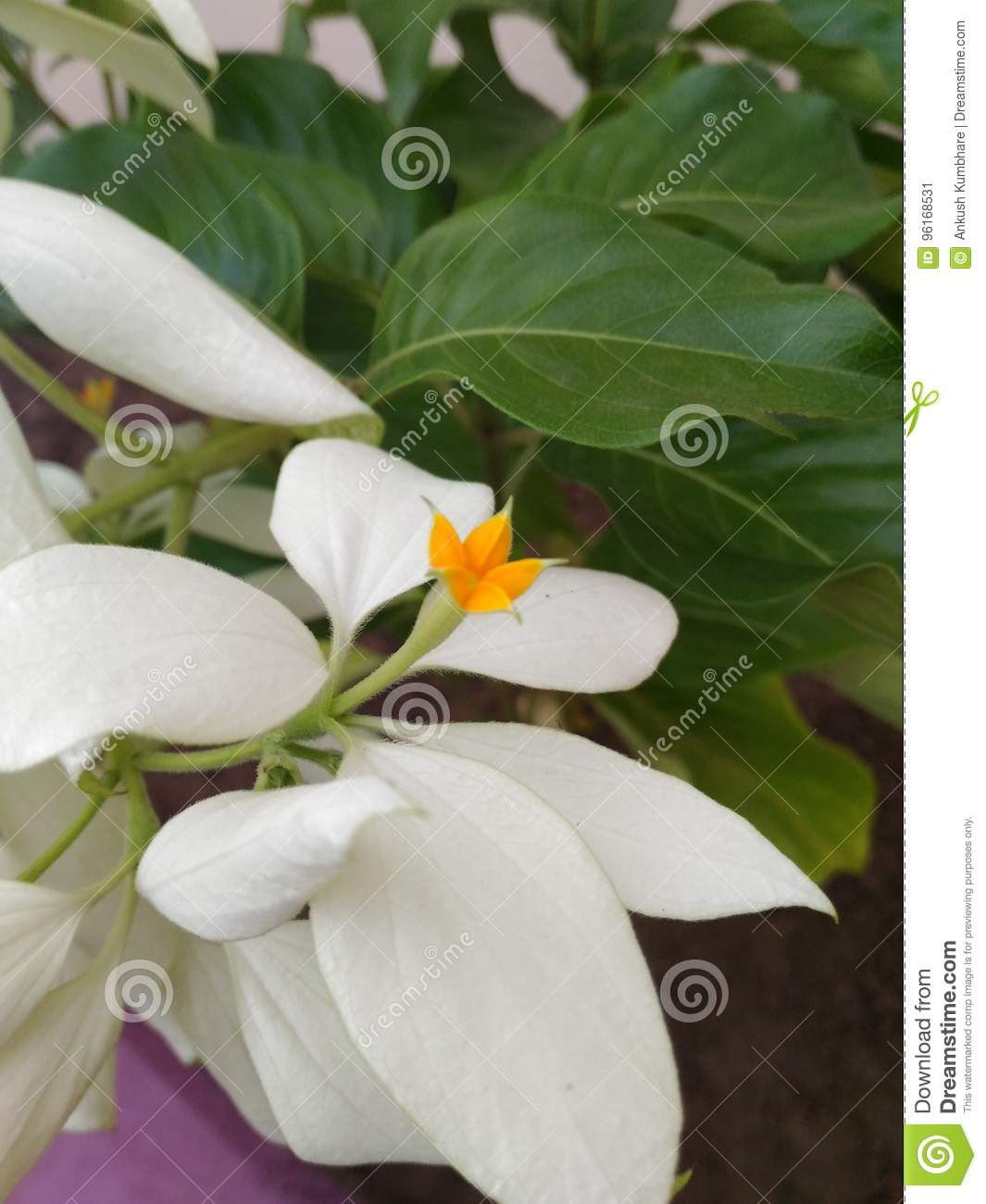 Unique And Special Yellow White Flowers Blooming In The Same Plant