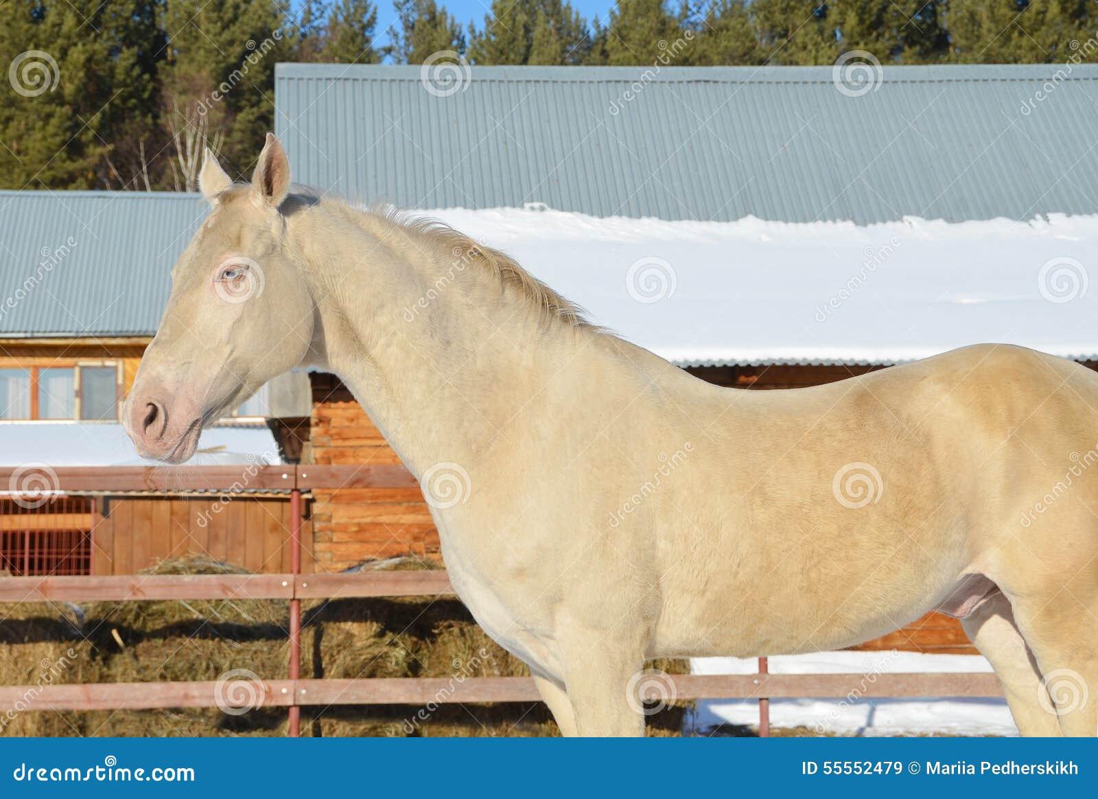 Unique Stallion at Walk
