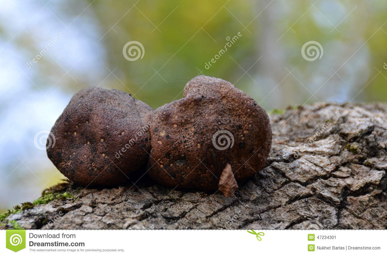Known as King Alberts Cakes or Cramp Balls, two mature dark brown ...