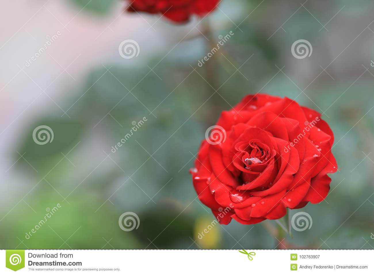 a red red rose meaning