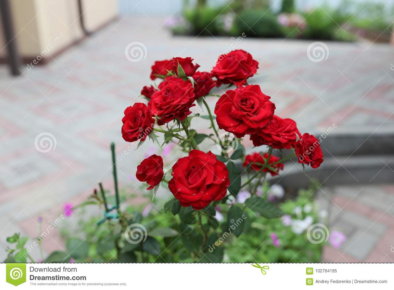 Bright Red Rose Stock Image Image Of Love Rose Also 102764195