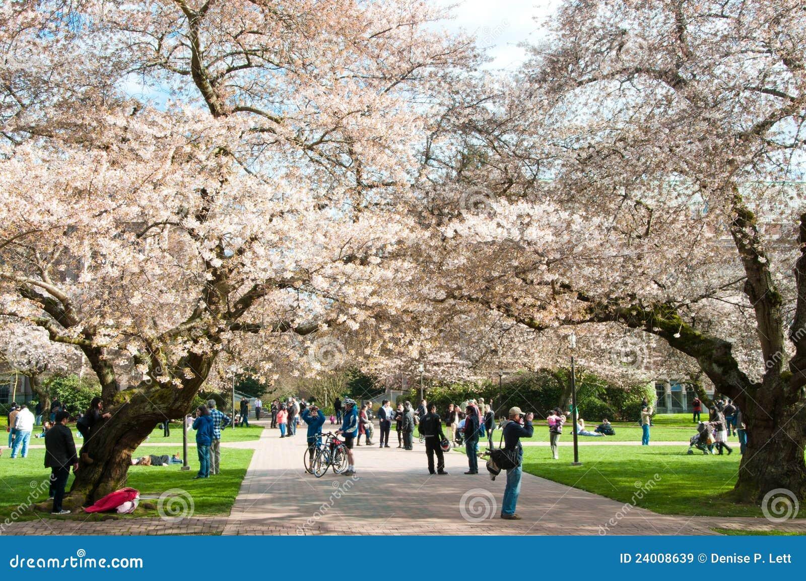 Universidade de árvores de cereja de florescência de Washington