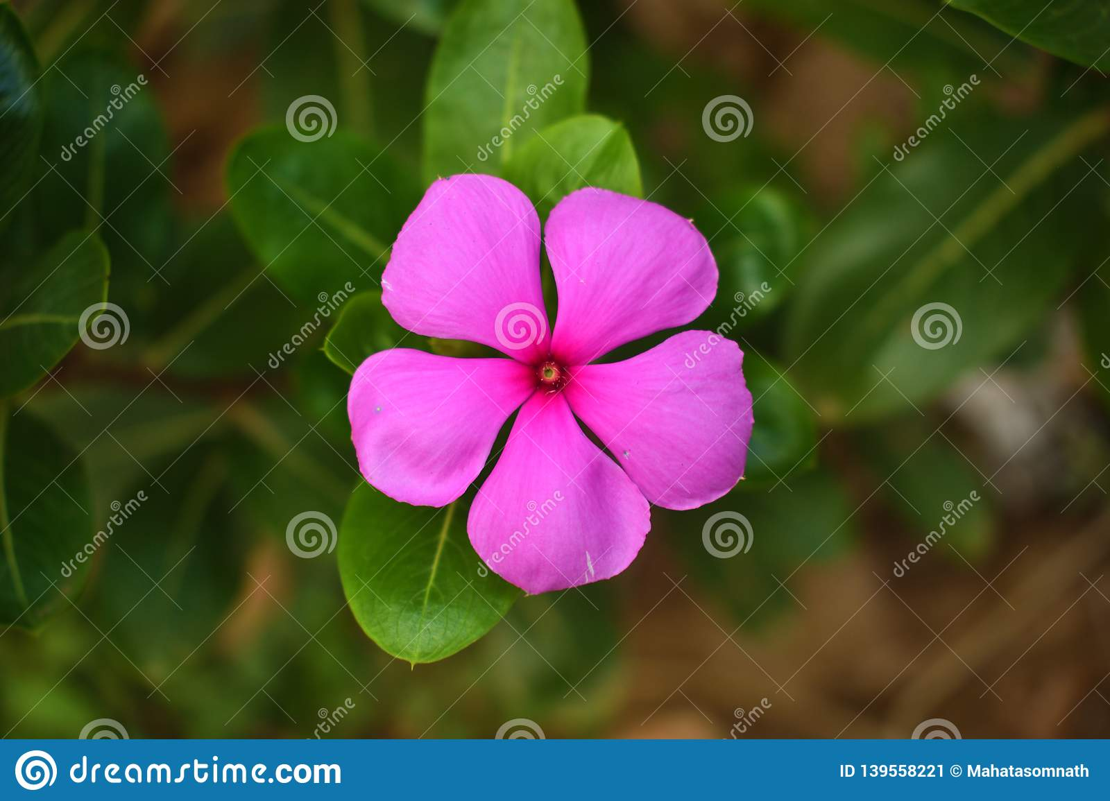 Catharanthus Roseus, Commonly Known As The Madagascar ...