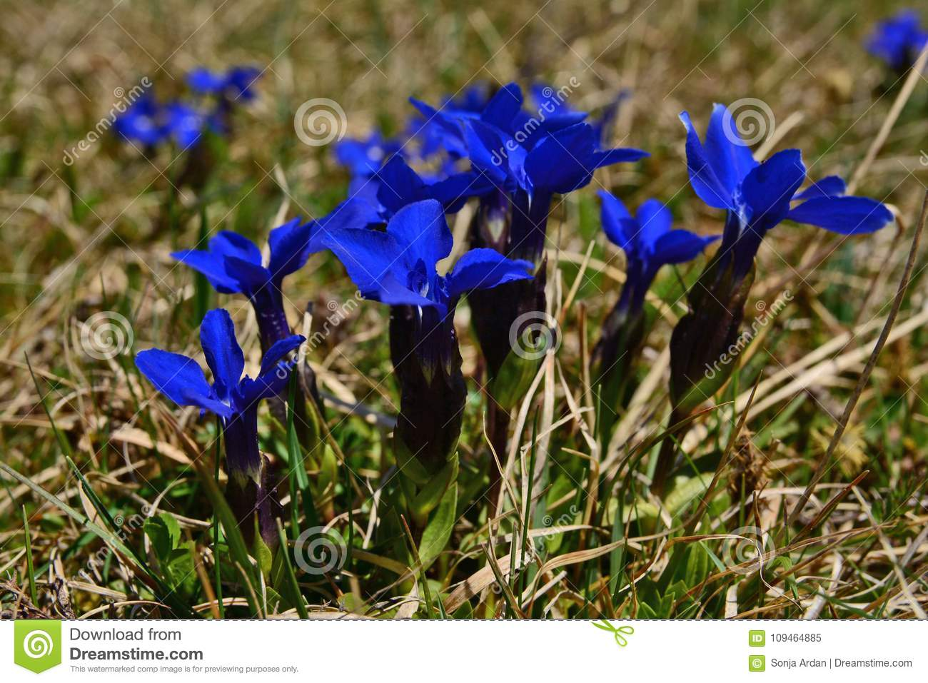 Unknown Marin Blue Flowers In Shallow Grass Stock Image Image Of