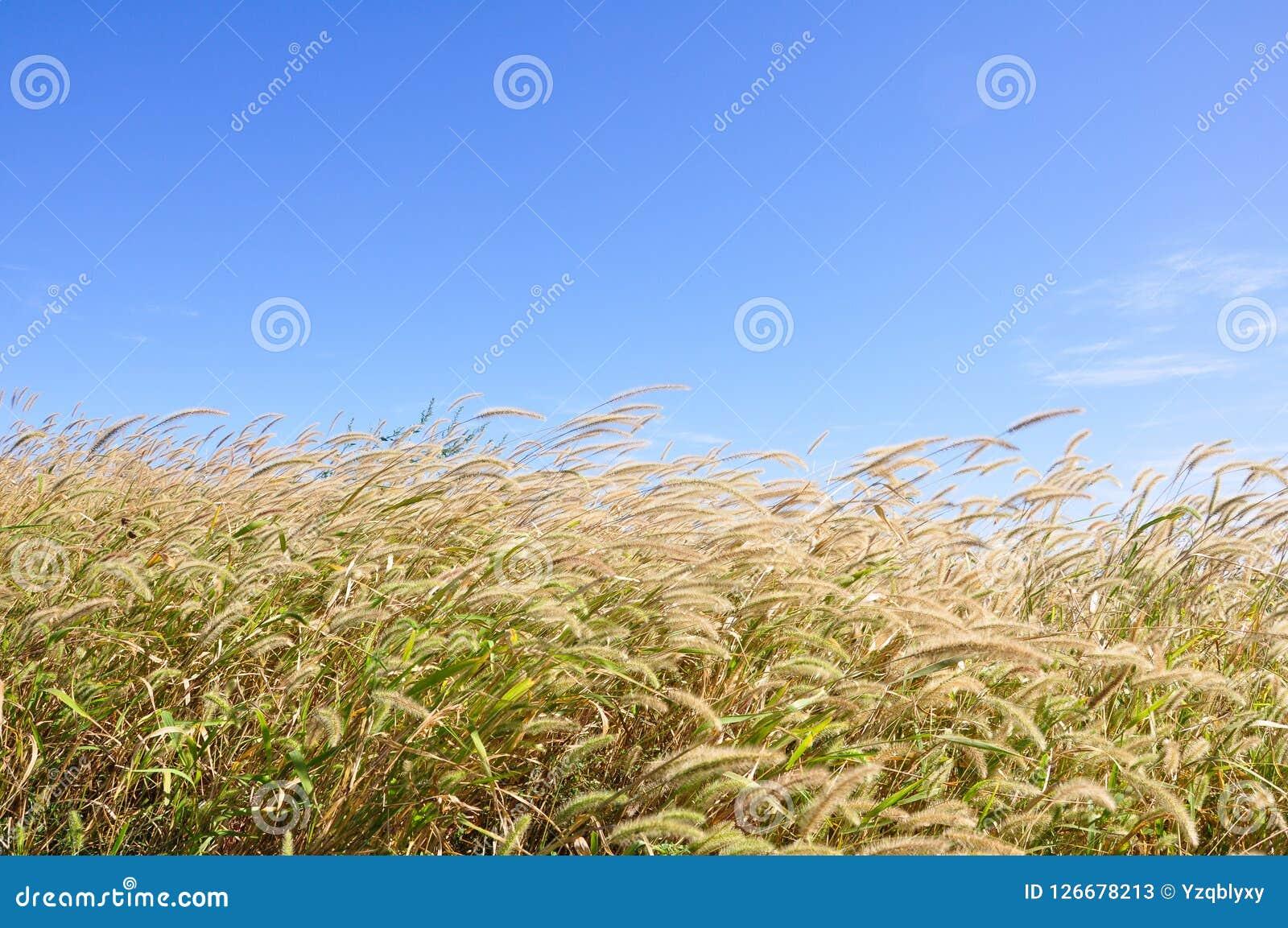 Unkräuter im Herbst mit Hintergrund des blauen Himmels