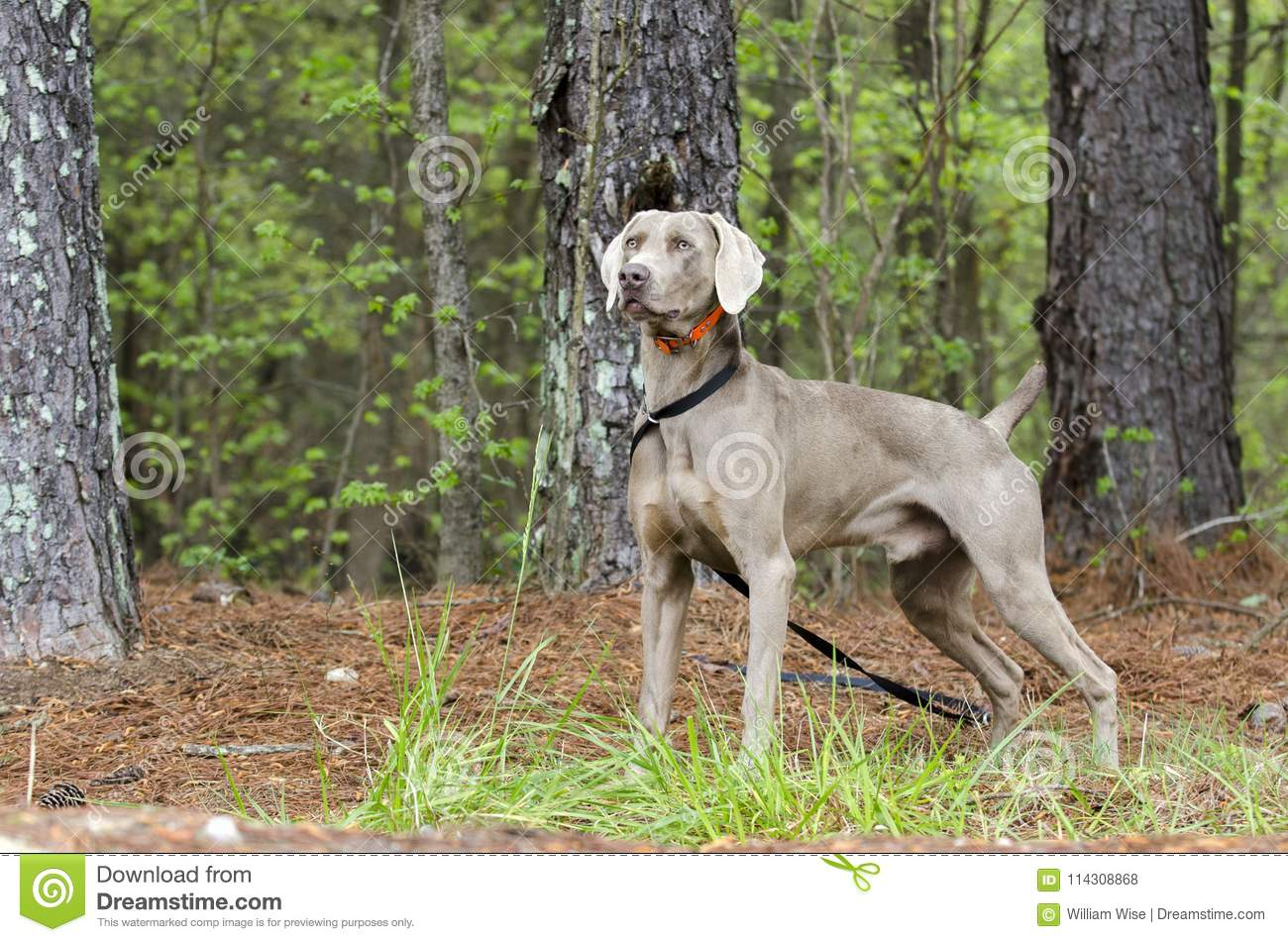 Weimaraner Gun Dog, Pet Adoption Photo, Monroe Georgia USA