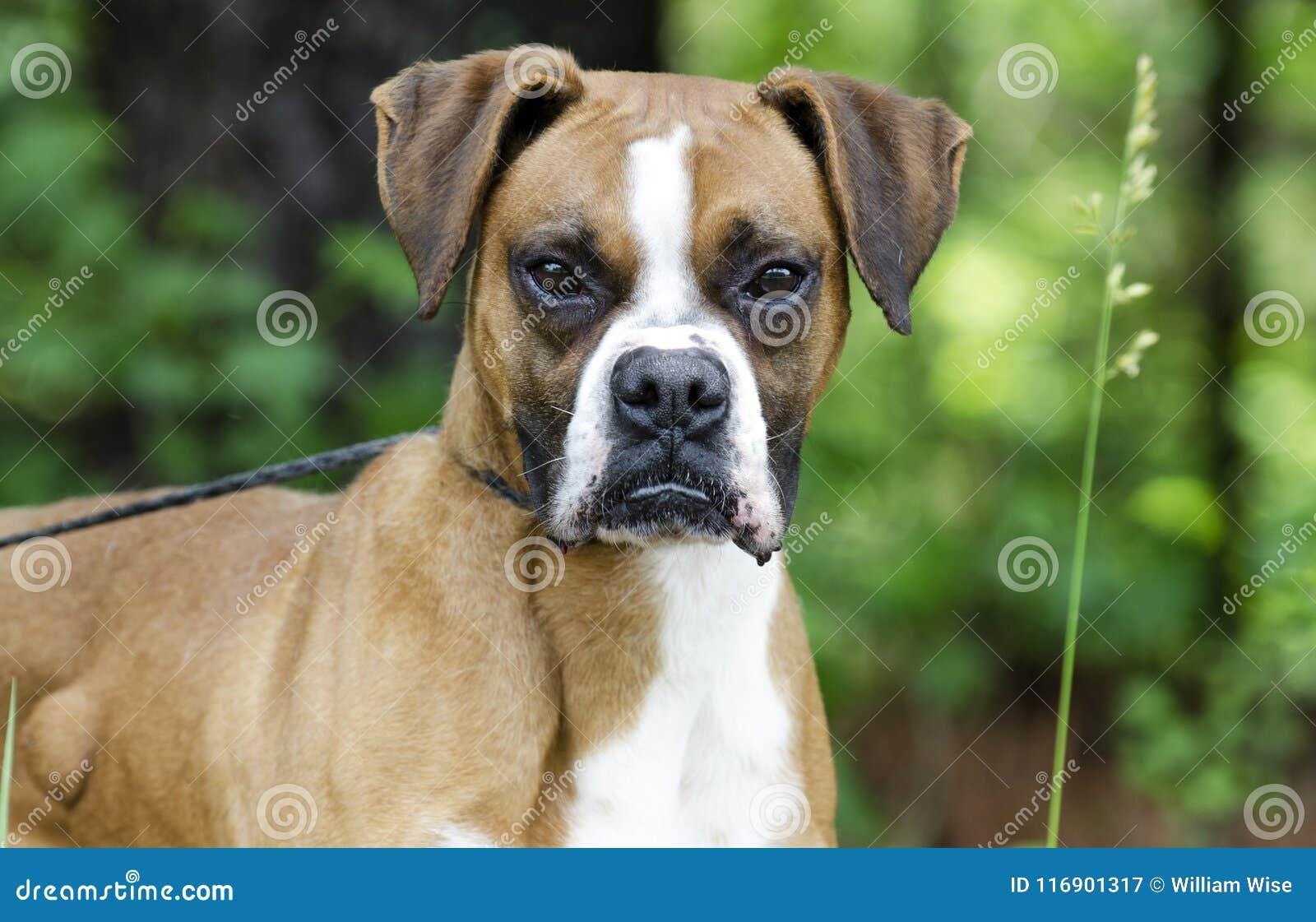 Boxer Dog, Pet Adoption Photography Stock Image - Image of