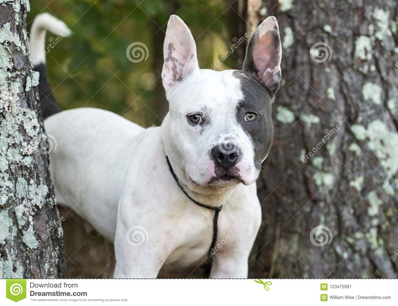 french bulldog pitbull mix pitbull terrier and french bulldog mixed breed dog stock 3684