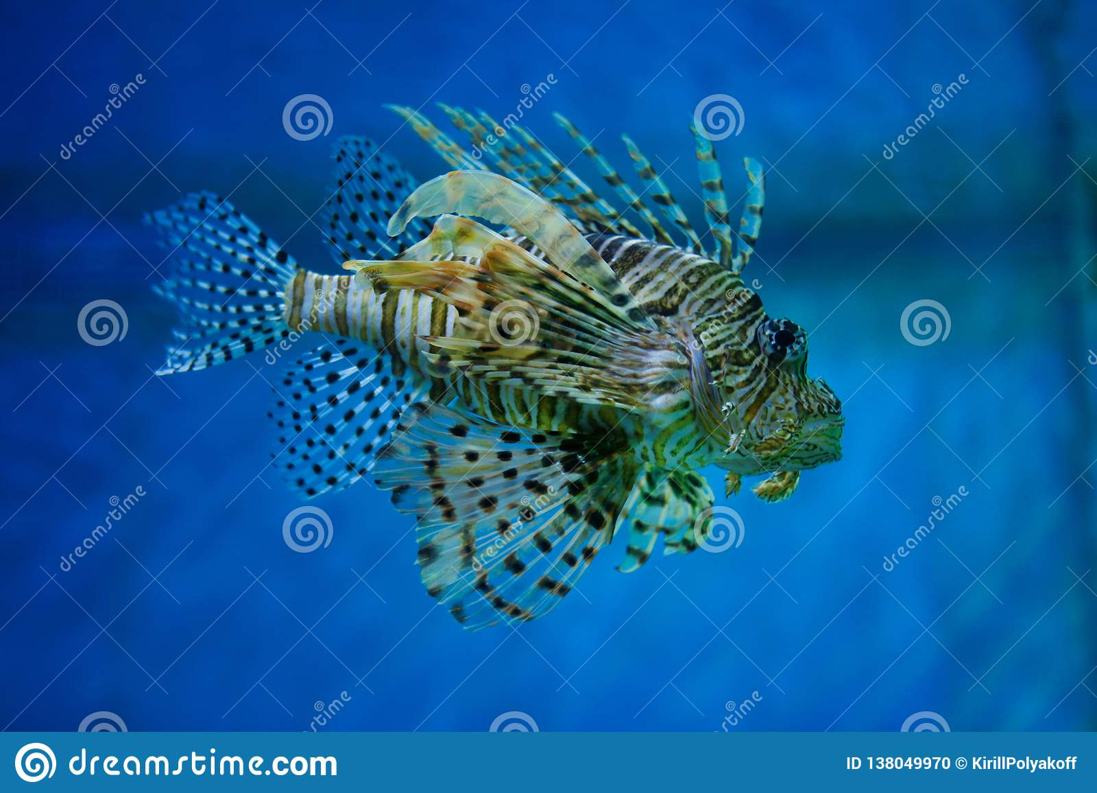 Uno de los habitantes más venenosos de la Lionfish-cebra marina del arrecife de coral