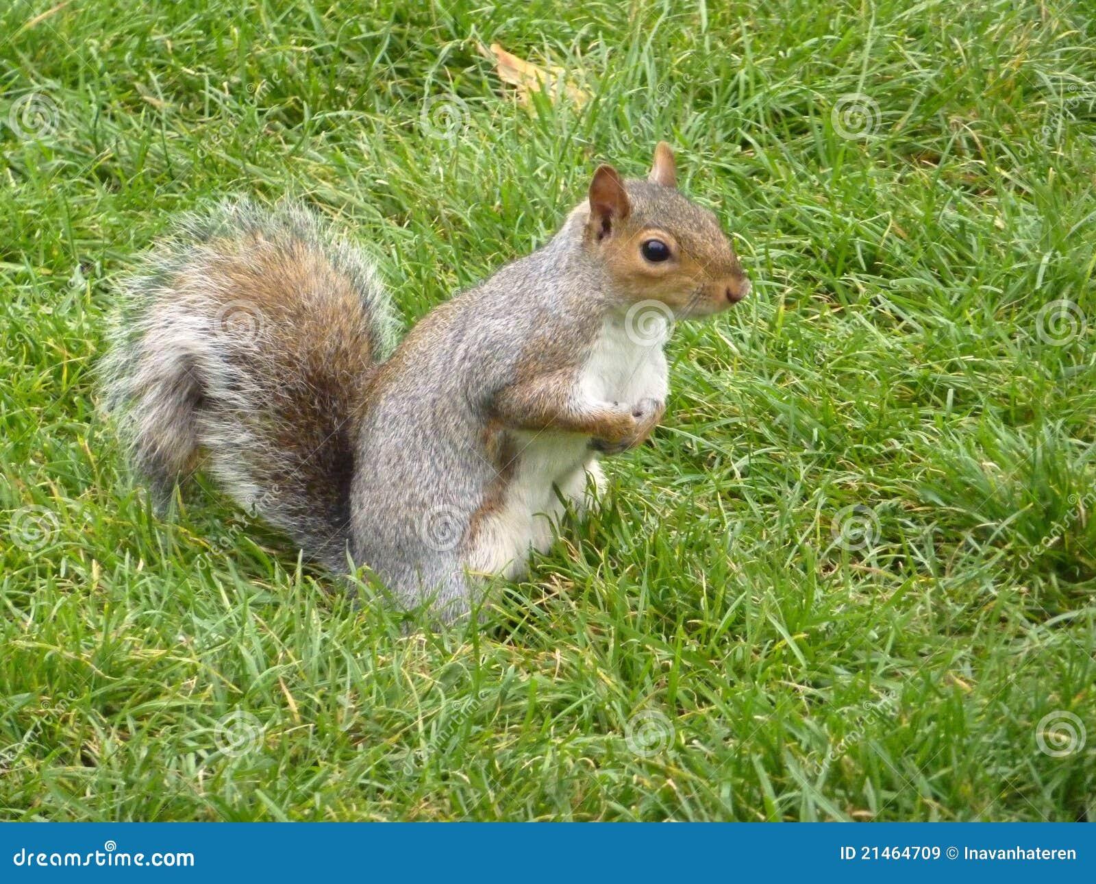 Uno scoiattolo con una coda lunga immagine stock - Foto di uno shamrock ...