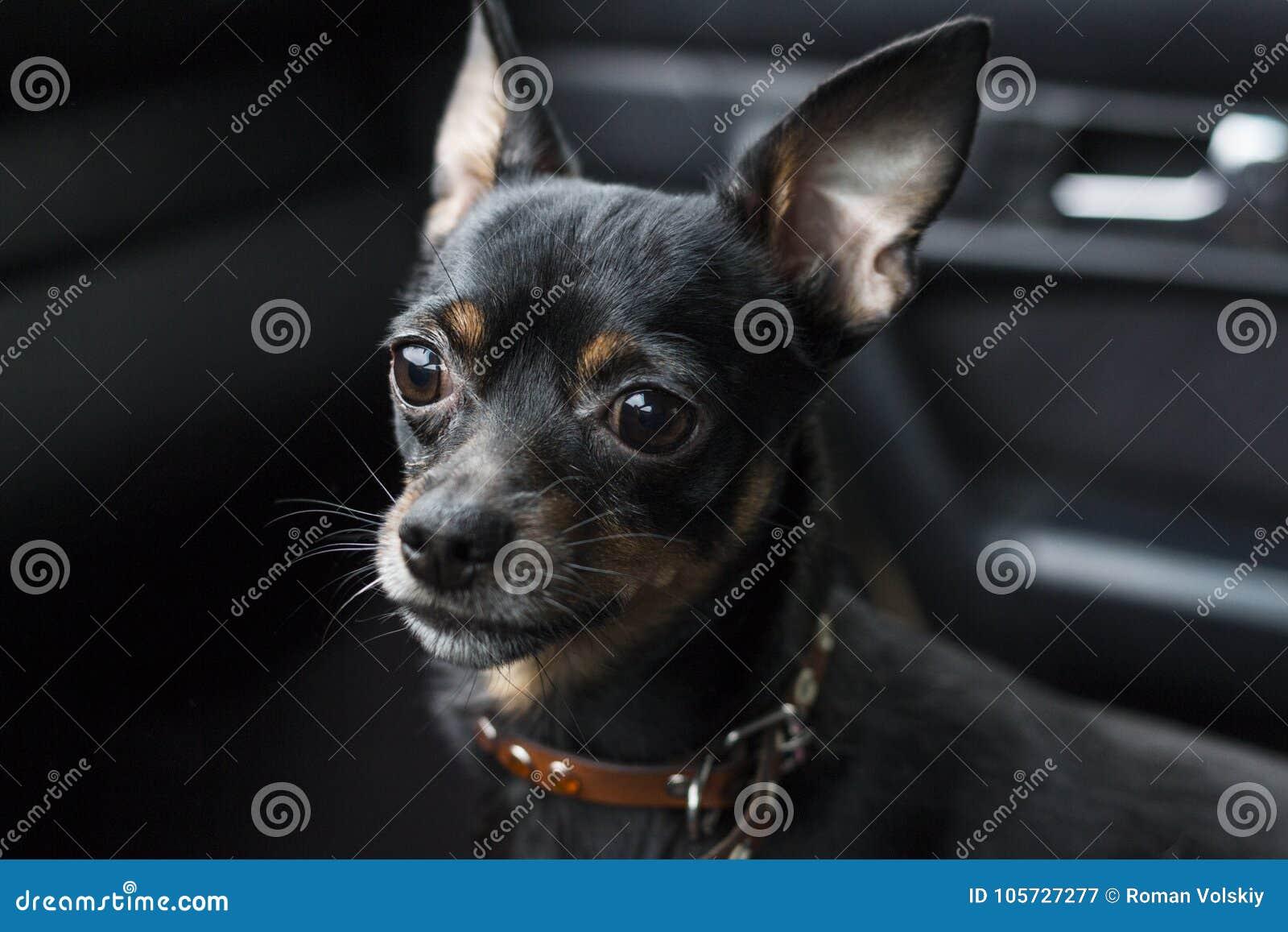 Uno sguardo triste del ` s del cane Pinscher nano in un collare dentro un automobile su un fondo scuro
