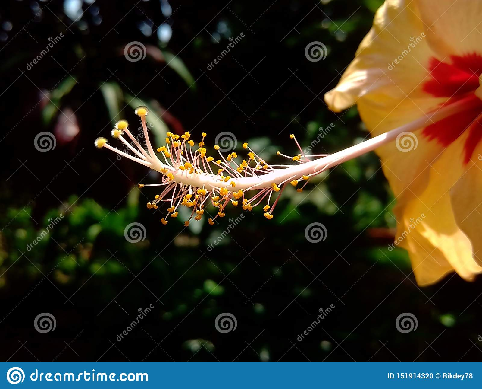 Uno stile giallo fresco dell ibisco del giardino