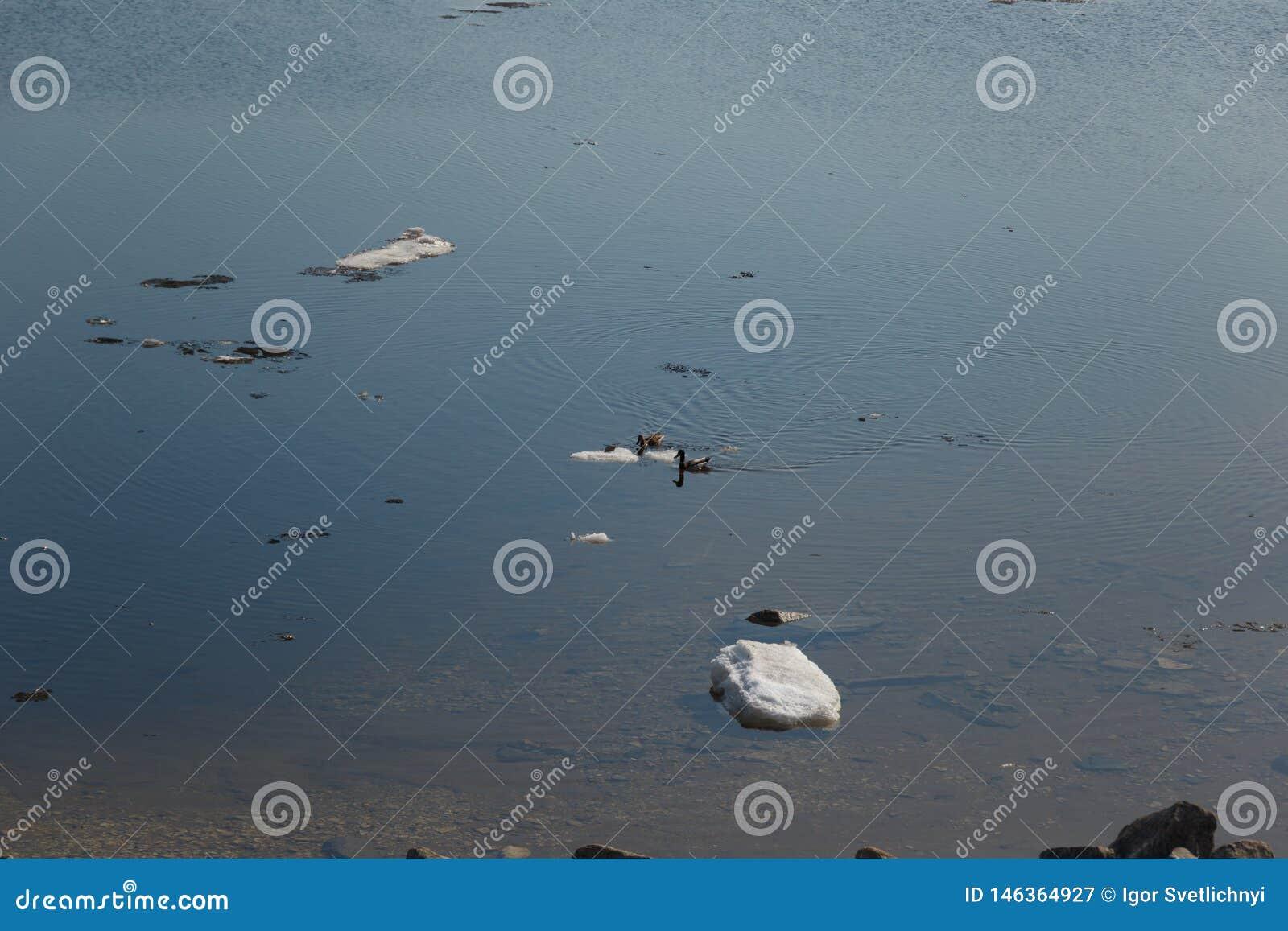 Uno stormo delle anatre selvatiche che nuota nel fiume dopo l inverno
