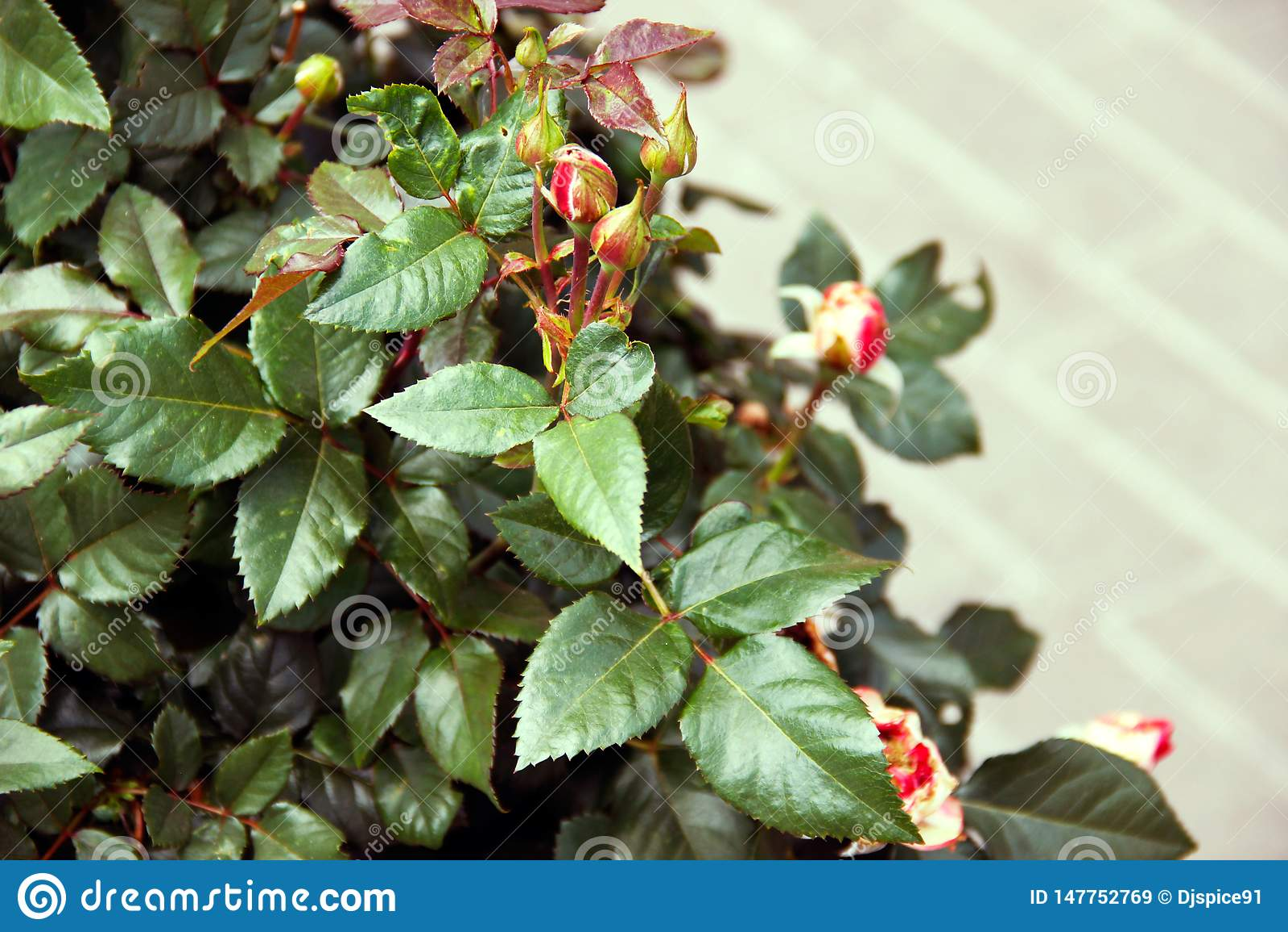 Unopened rosebud on a Bush