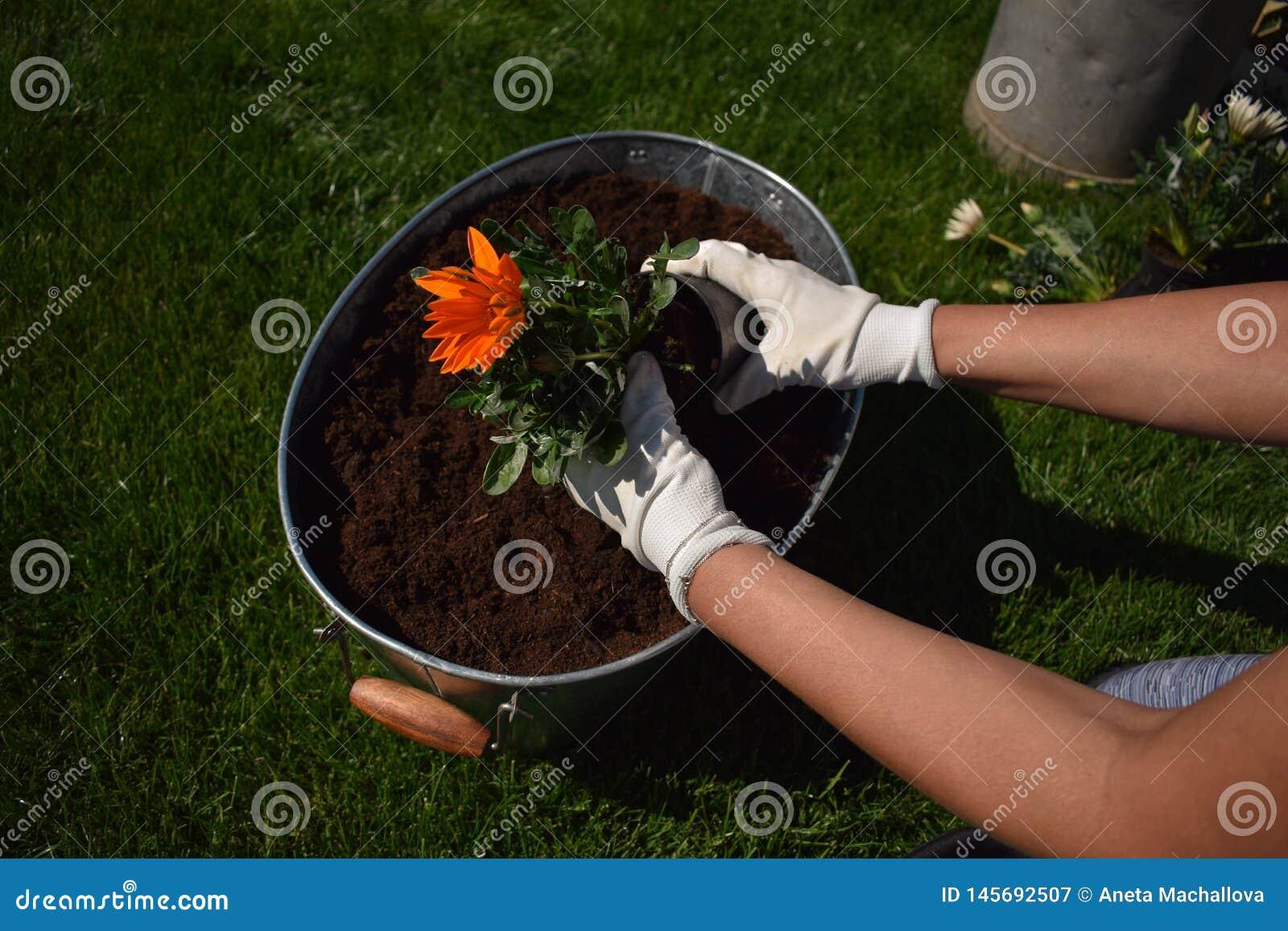 Unrecognisable weiblicher G?rtner, der sch?ne Blume bereit, in einem Garten gepflanzt zu werden h?lt