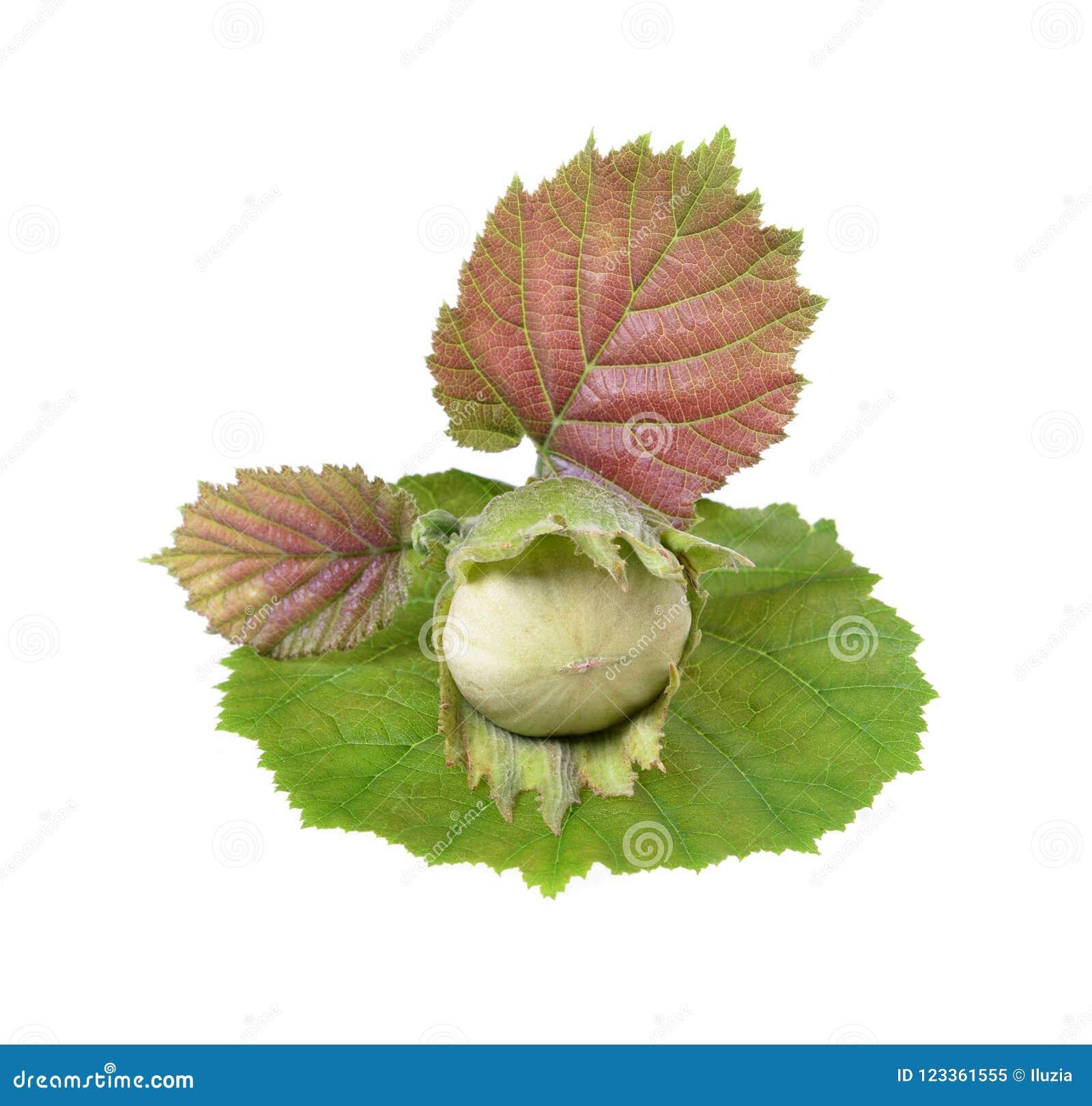Unripe πράσινο απομονωμένο φουντούκια δ