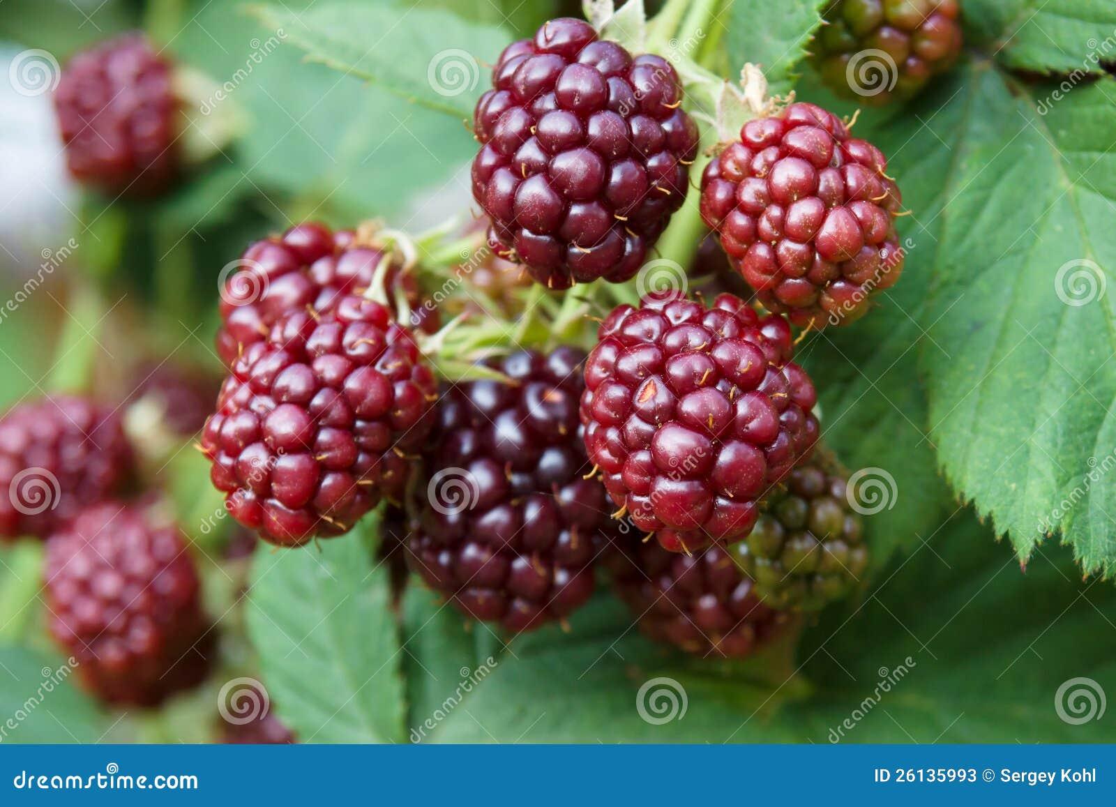 Unripe Strawberries Unripe blackber...
