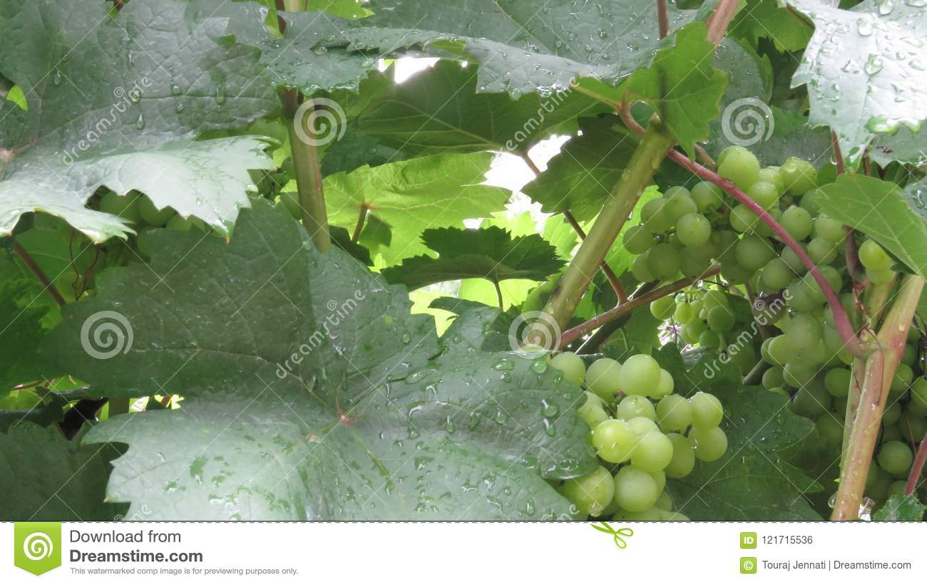 Unripe Green Grapes with leaves Covered with Rain drops.