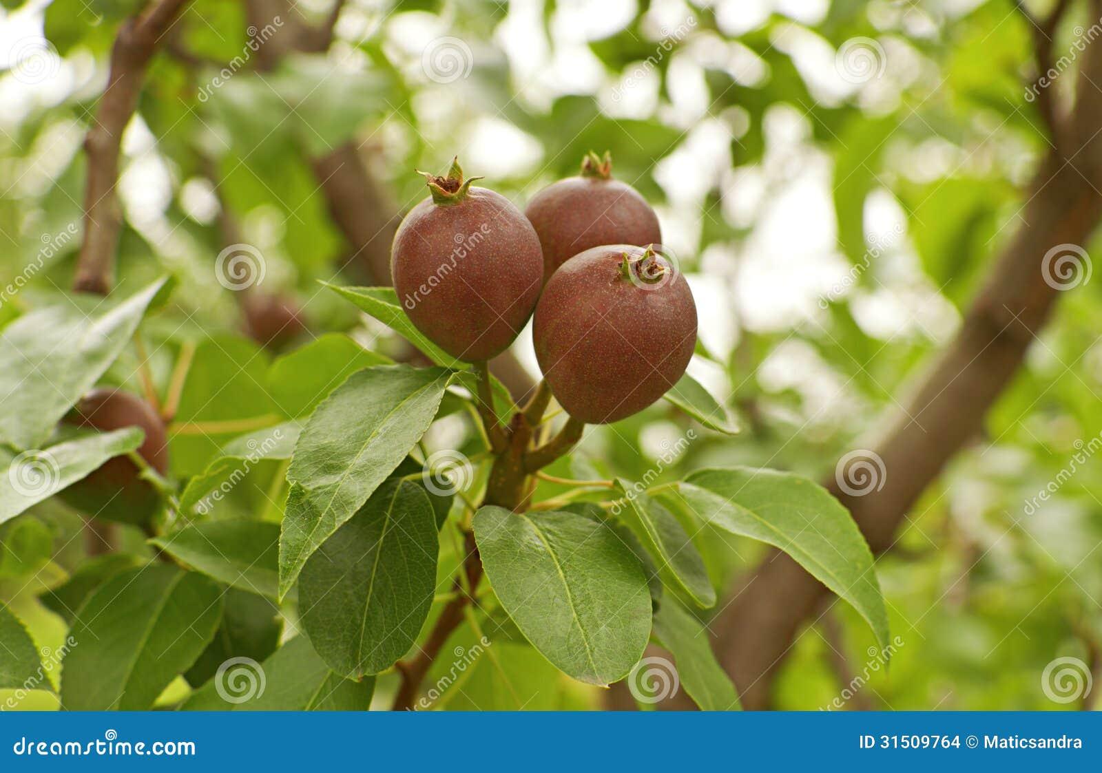 how to grow korean pears