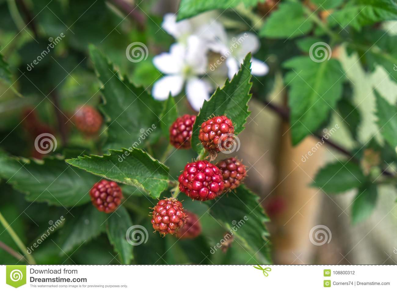Unripe Red Blackberry Fruit Shallow Depth Of Field With Leaves