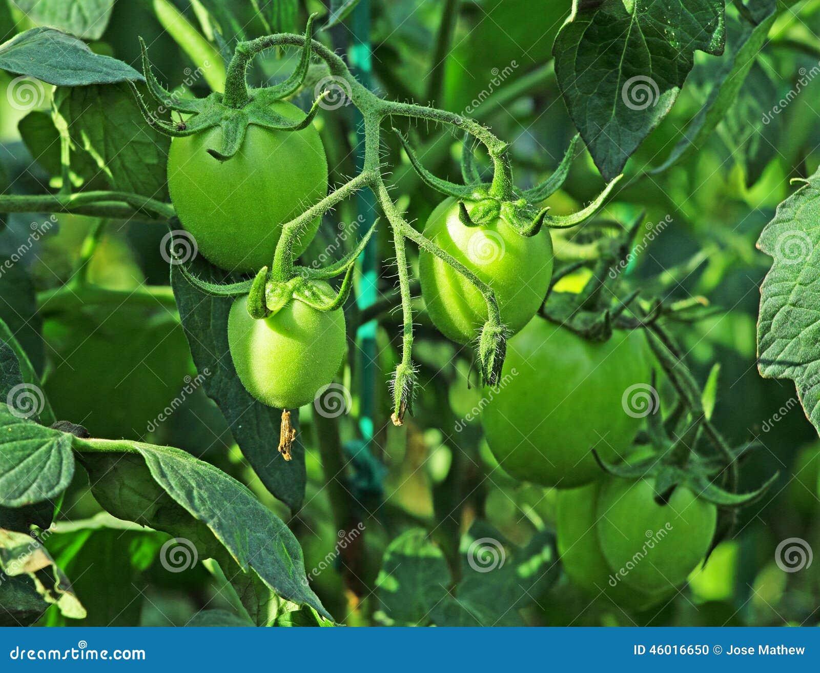 Unripe tomater